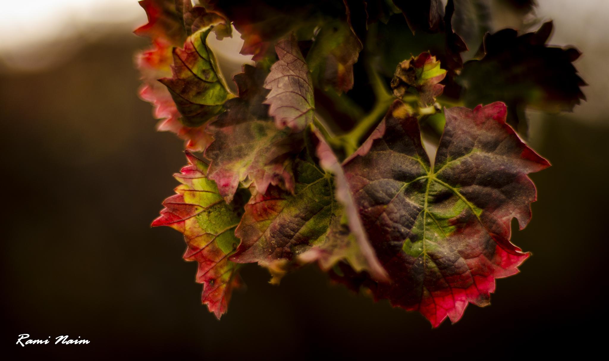 Vineyard by raminaim