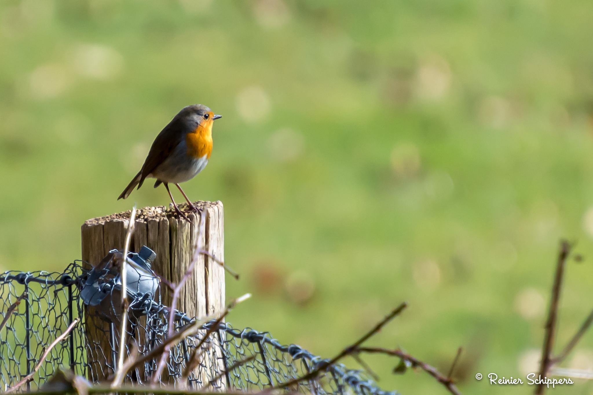 Robin In The Sunshine by Reinier Schippers