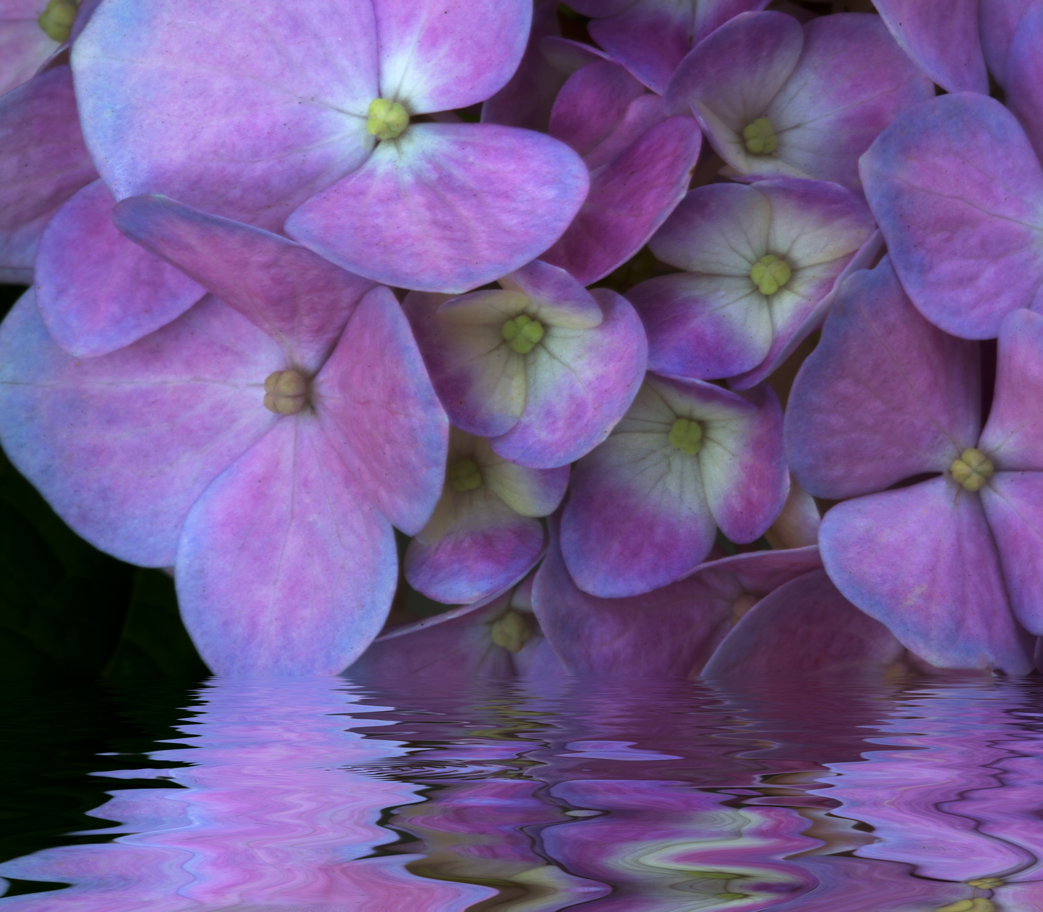 Hydrangea Love by connie.stahl3