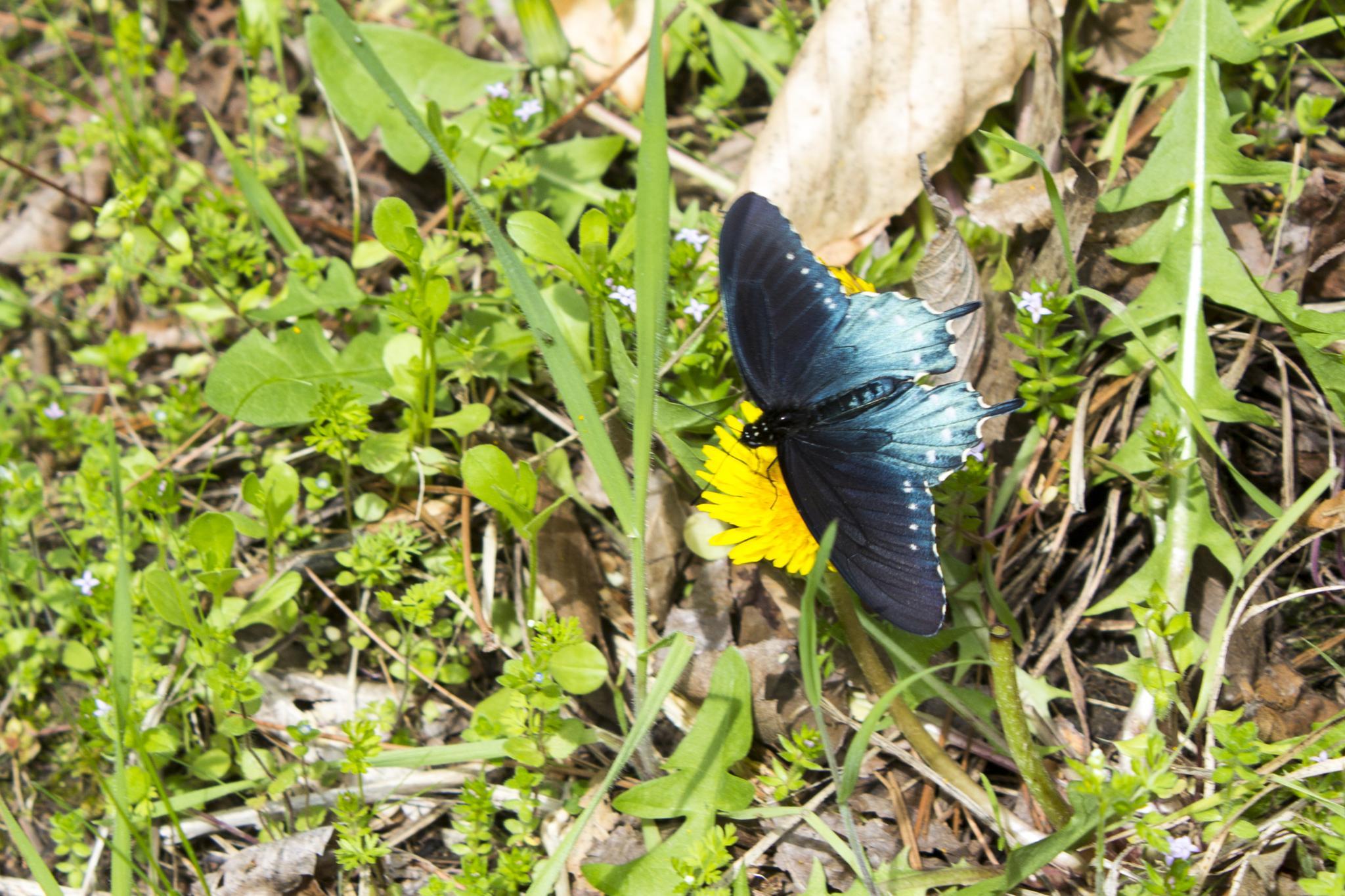 Butterfly on a dandelion flower by steve house