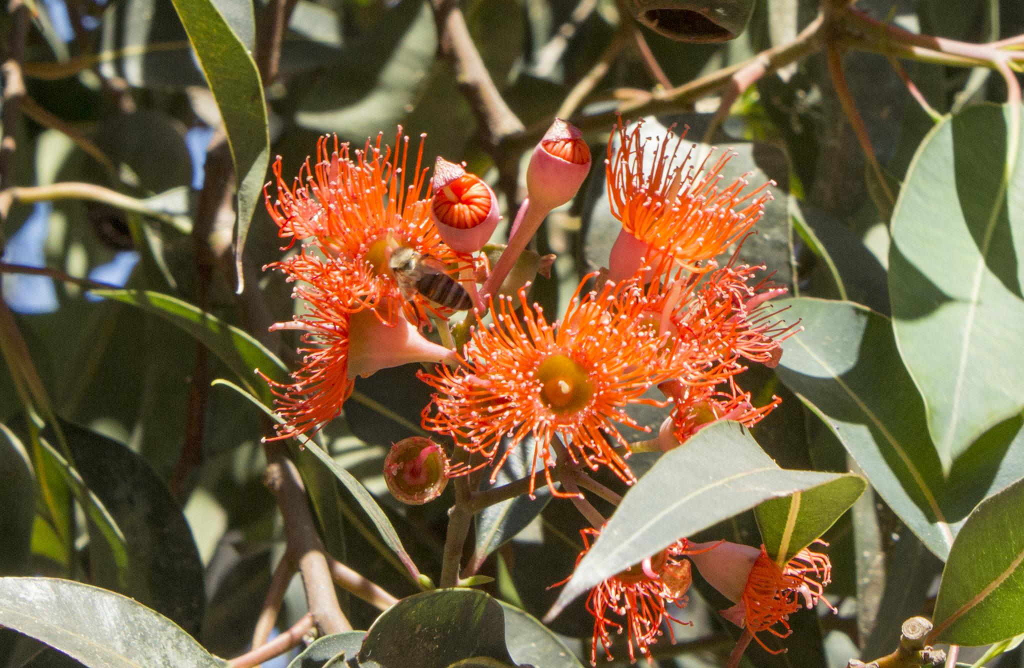Redflower Gum Tree blooms by steve house