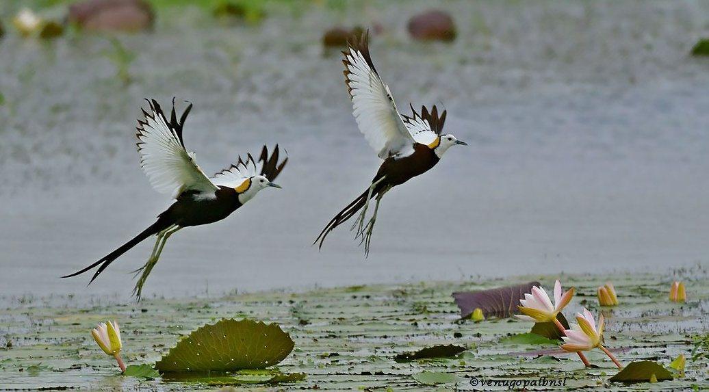Pheasant tailed Jacanas by venugopalbsnl