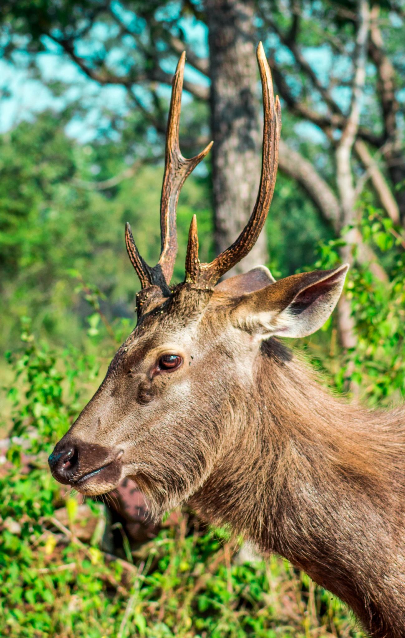 Sambar Deer by N. K. Teja