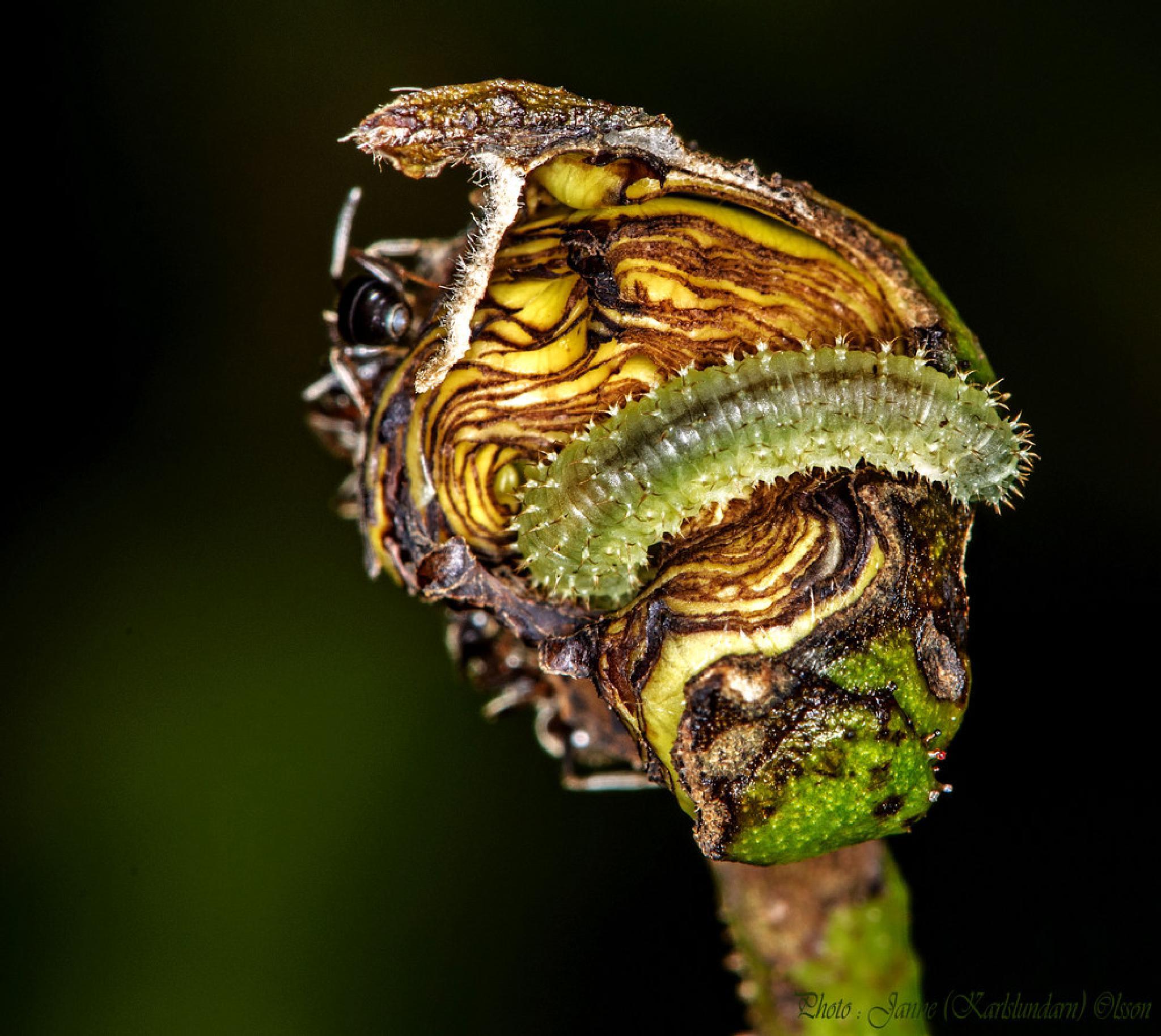 Larv av Rosenbladstekeln (Blennocampa phyllocolpa) äter upp Rosenknoppen by (Karlslundarn)