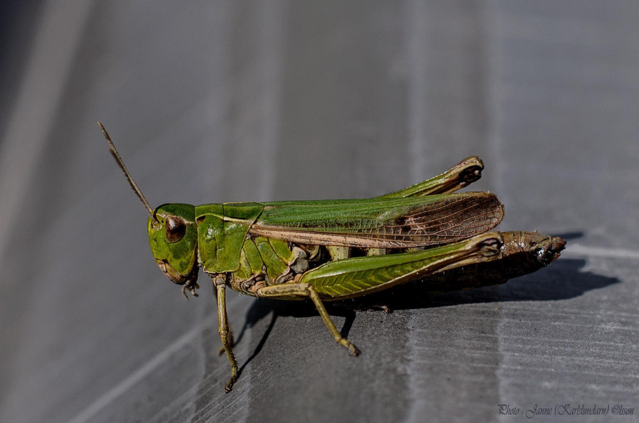 Grön ängsgräshoppa (Omocestus viridulus) by (Karlslundarn)