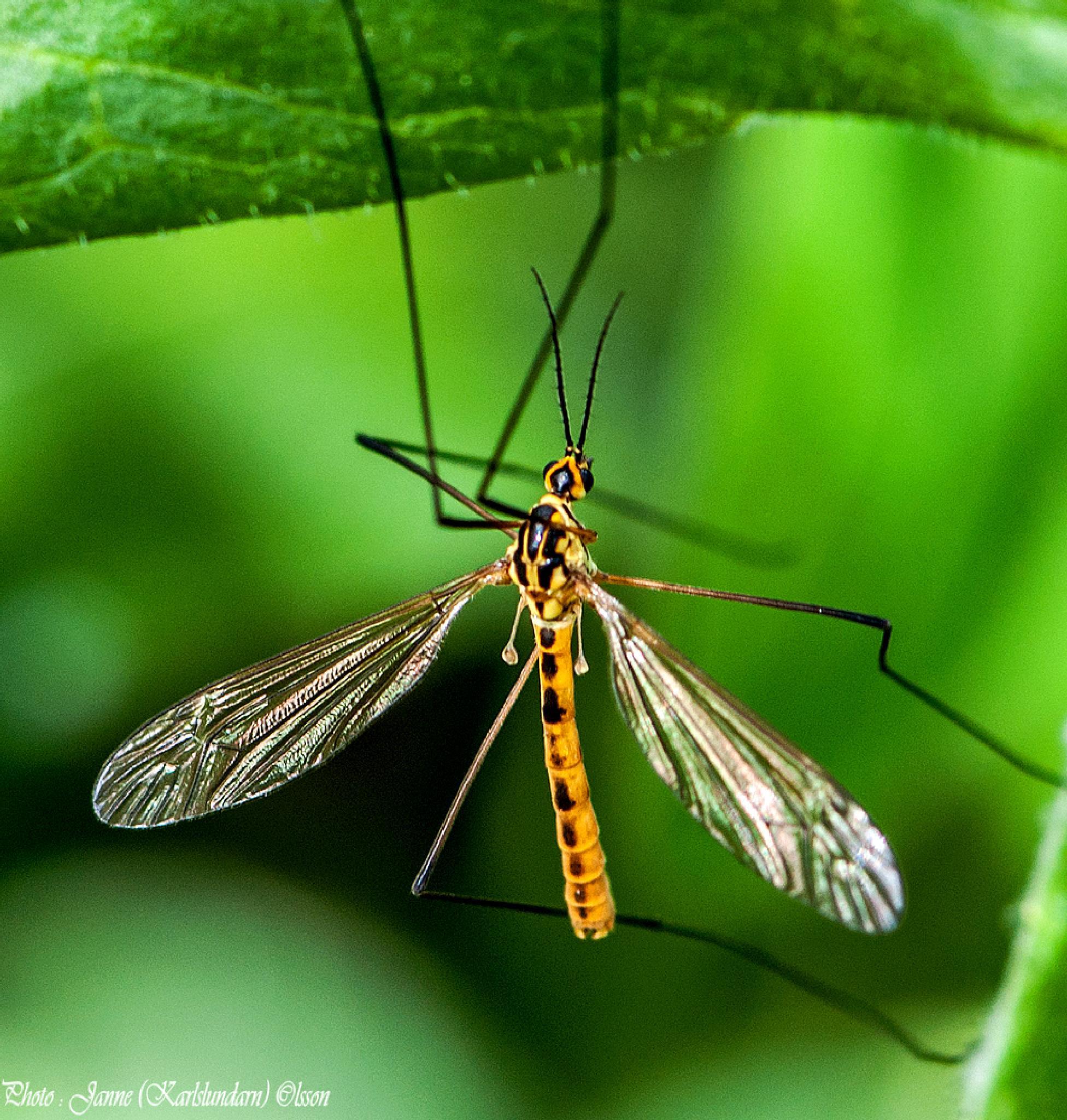 Storharkrank (Tipulidae) by (Karlslundarn)