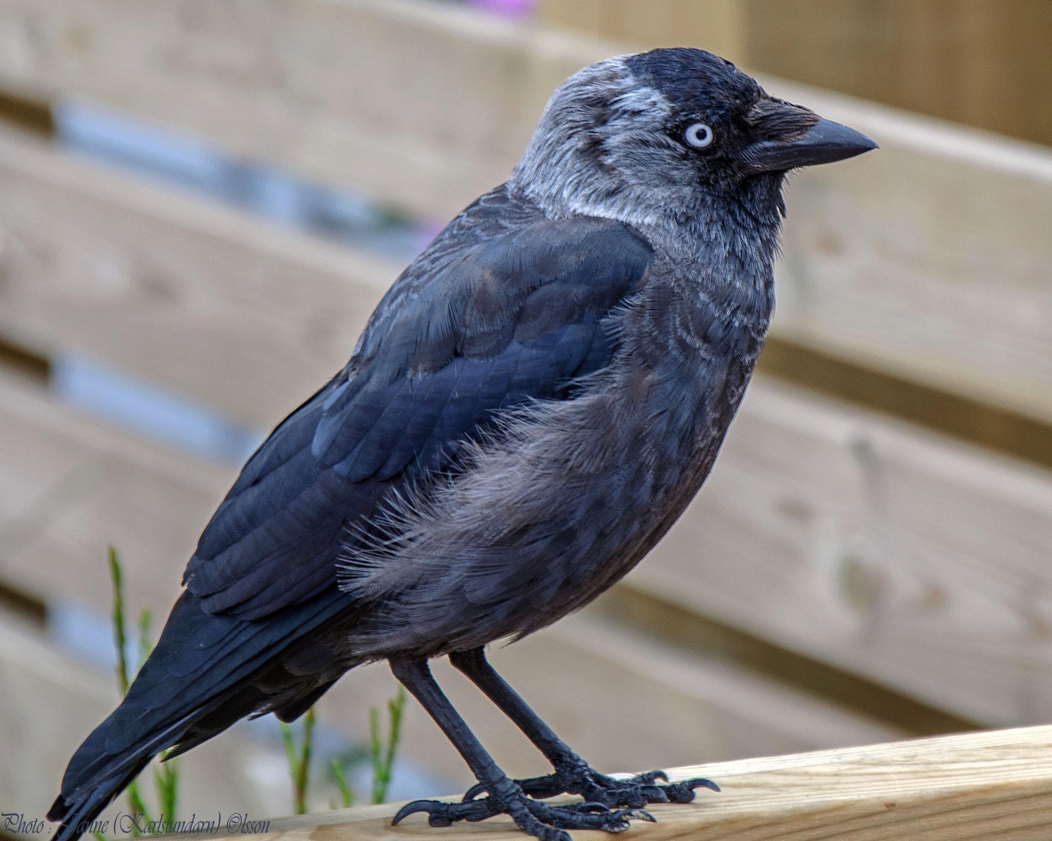 Kaja (Corvus monedula) by (Karlslundarn)