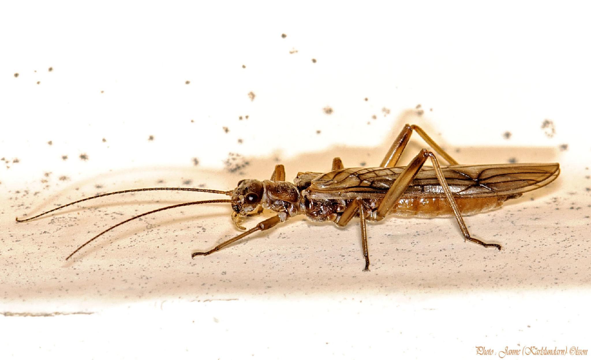 Bäckslända (Plecoptera) by (Karlslundarn)