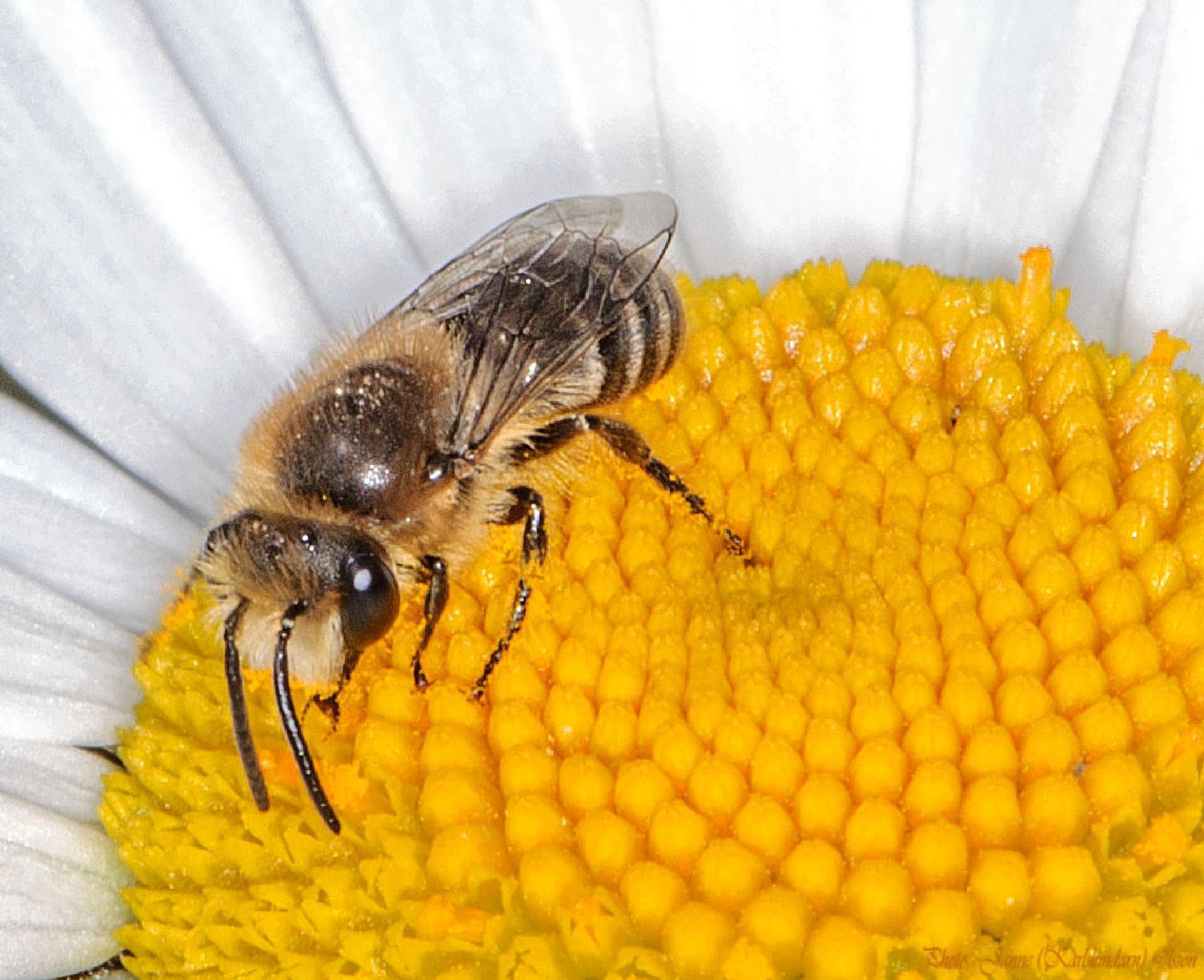 Smalbi (Lasioglossum) by (Karlslundarn)