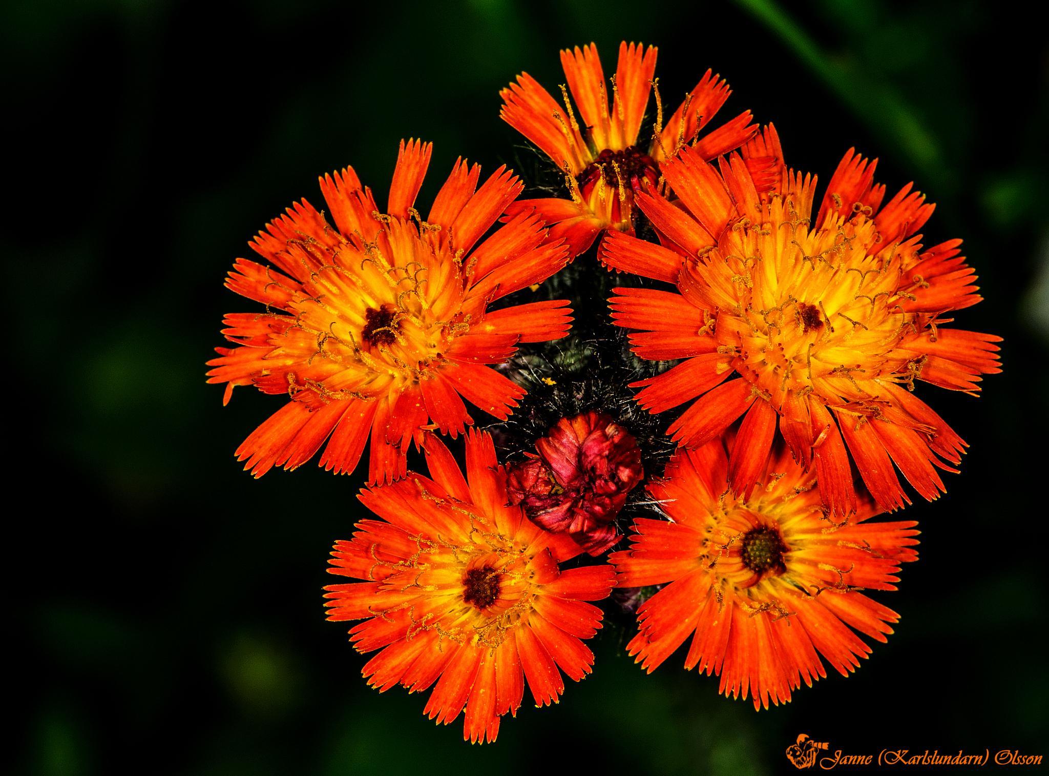 Rödfibbla (Pilosella aurantiaca) by (Karlslundarn)