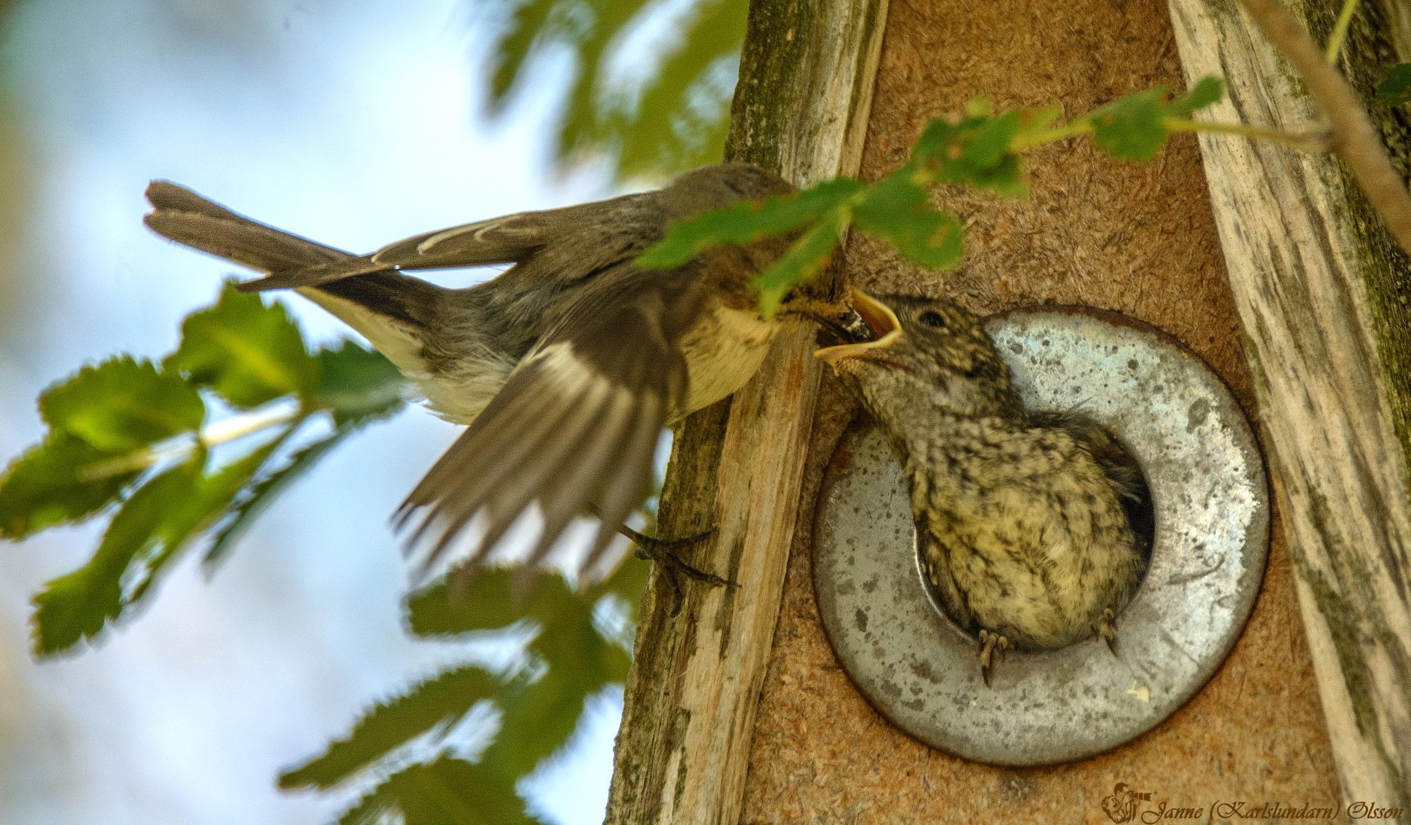 Honan Svartvit flugsnappare (Ficedula hypoleuca) matar sina ungar by (Karlslundarn)