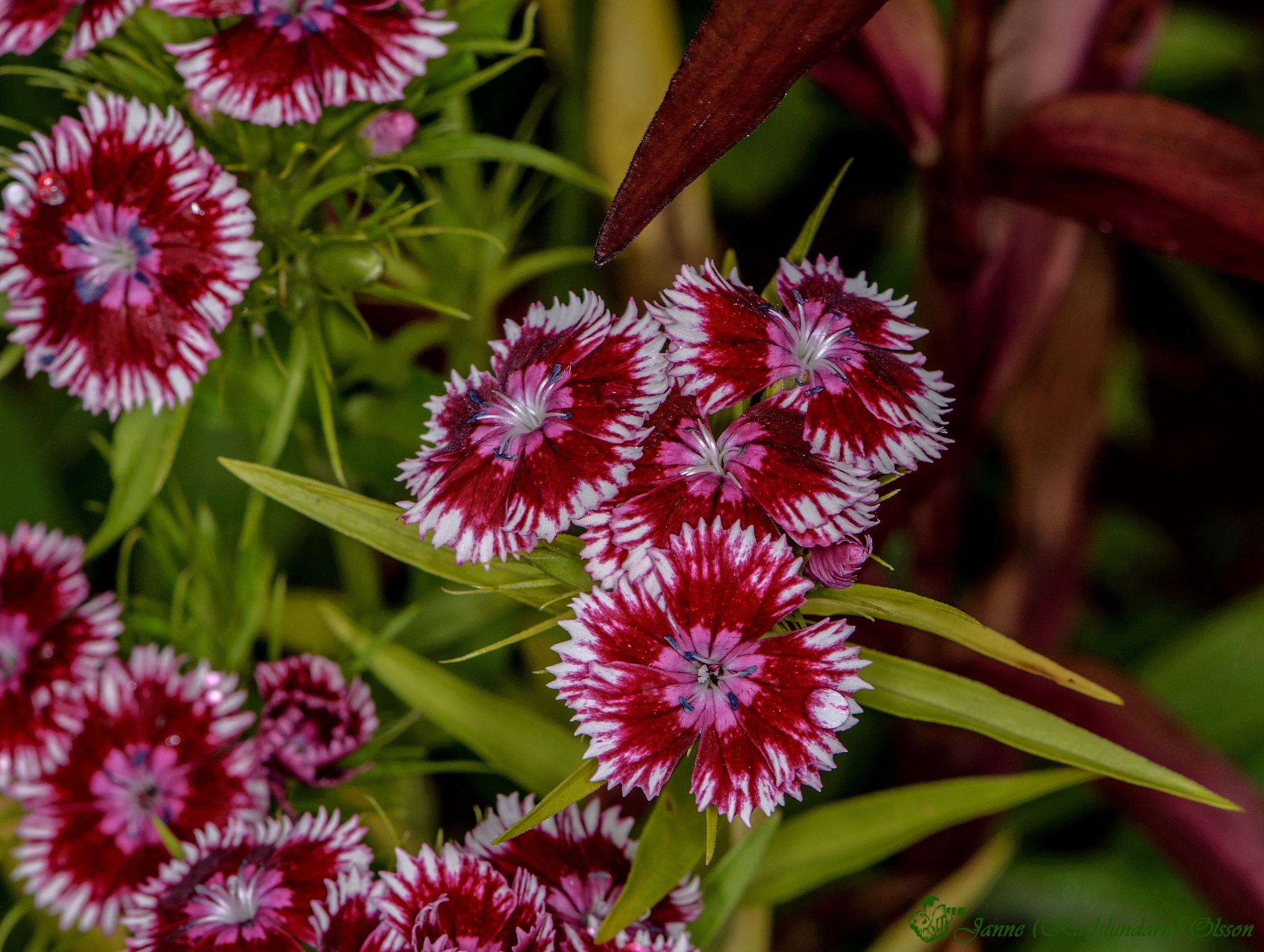 Borstnejlika (Dianthus barbatus) by (Karlslundarn)