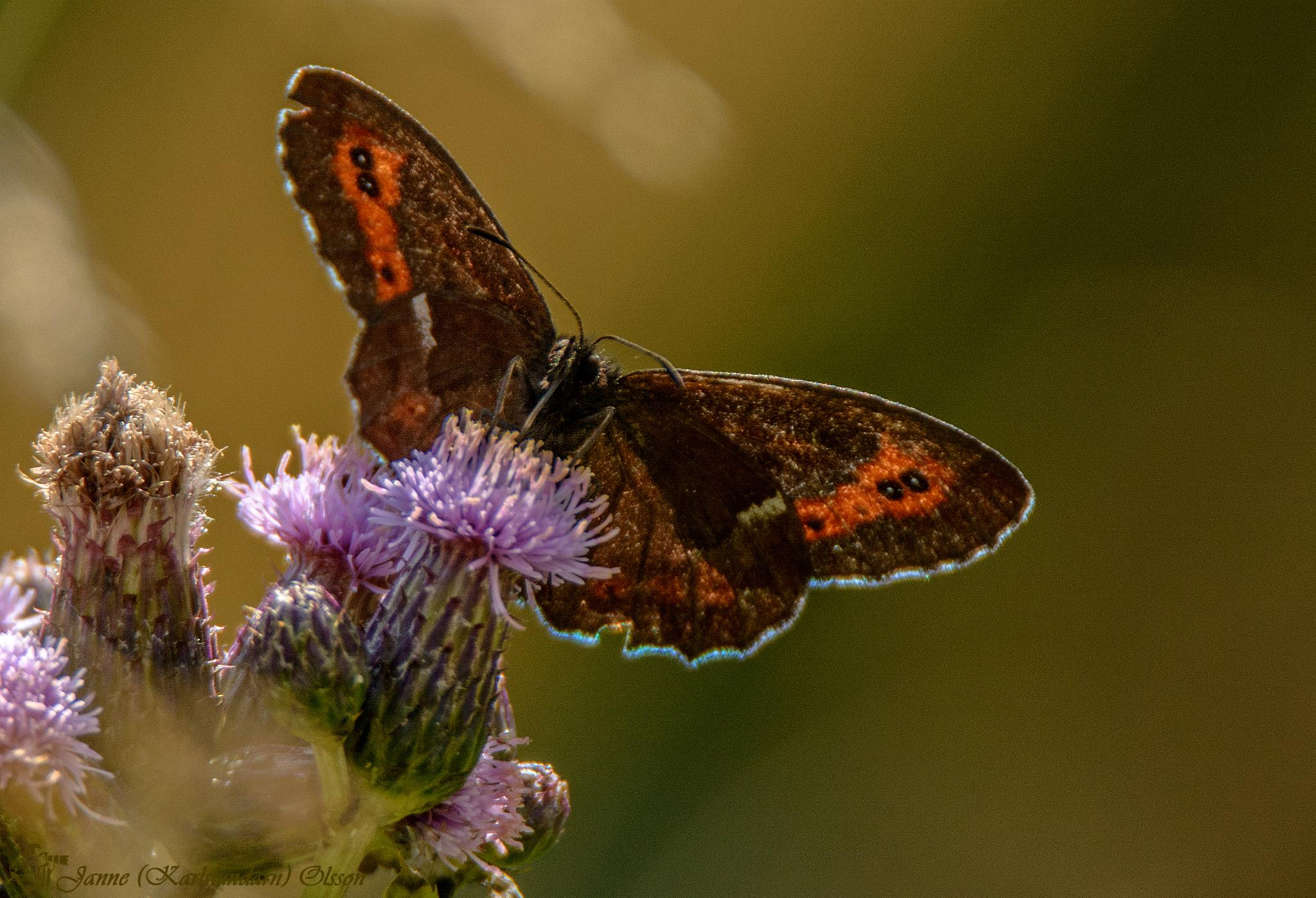Skogsgräsfjäril (Erebia ligea) by (Karlslundarn)
