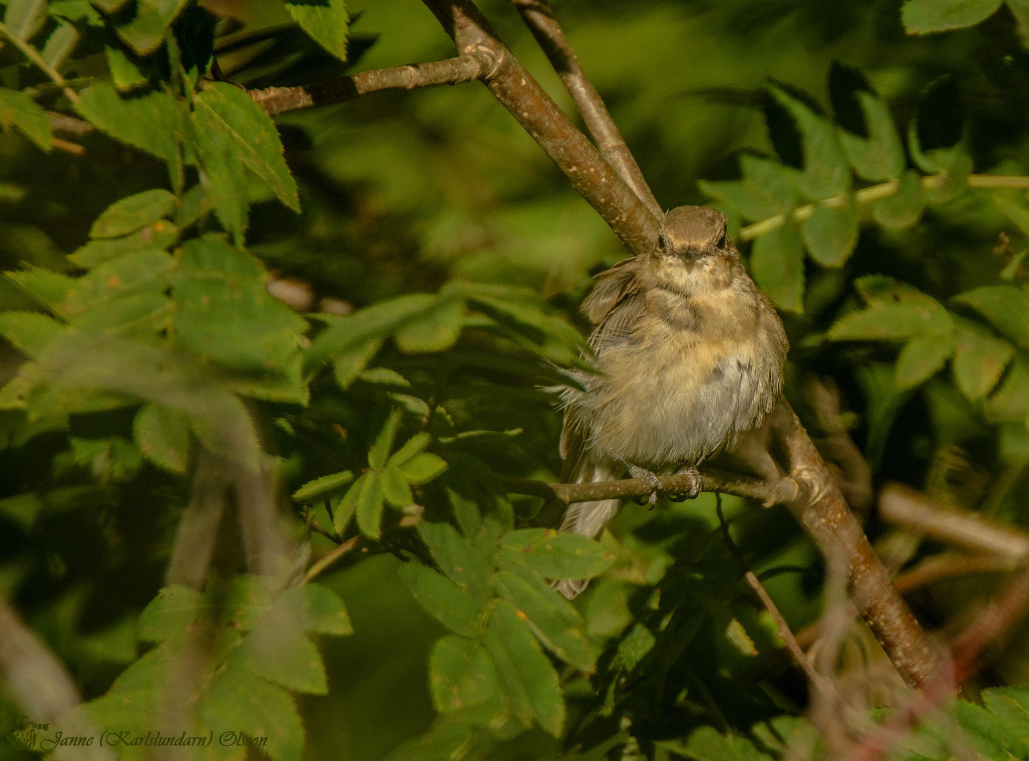 Grå flugsnappare (Muscicapa striata) by (Karlslundarn)