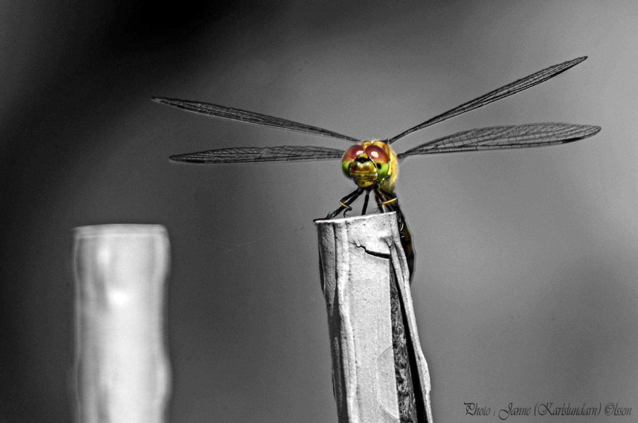 Gulfläckad ängstrollslända (Sympetrum flaveolum) by (Karlslundarn)