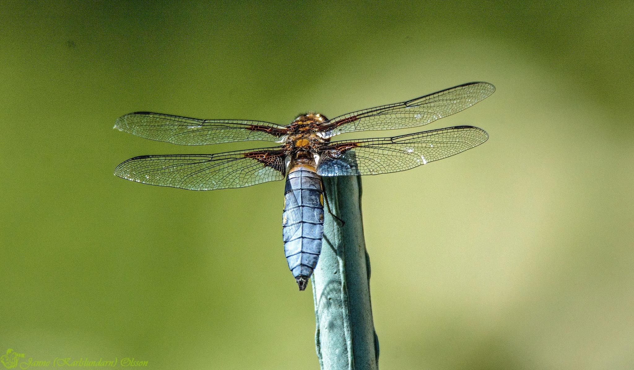 Male Libellula depressa by (Karlslundarn)