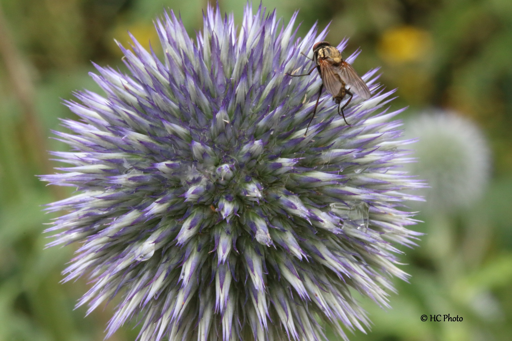 Kogel distel/  thistle / Echinops bannaticus by Henk van der Craats