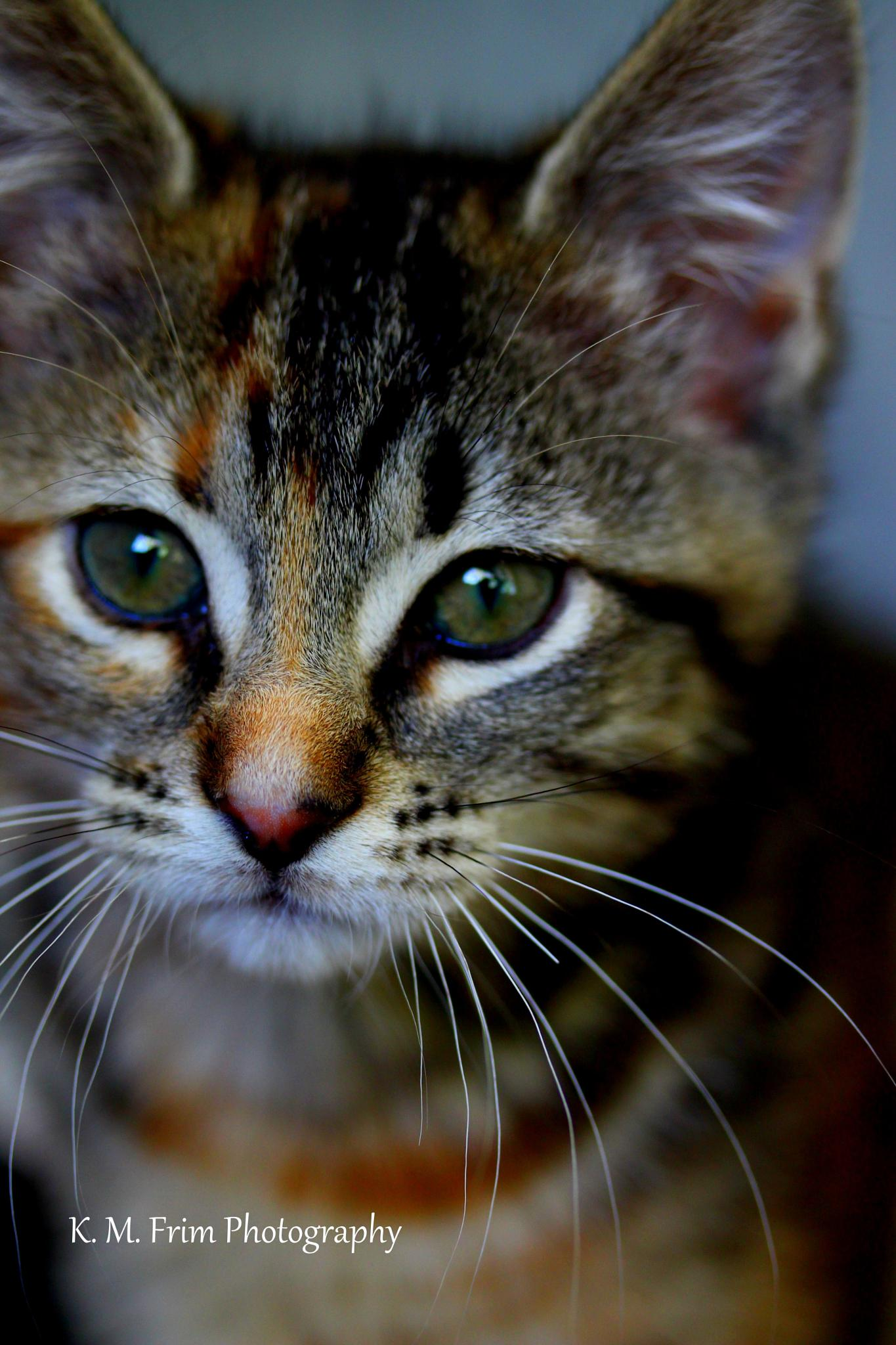 Photo in Animal #cat #kitten #pose #animal #calico