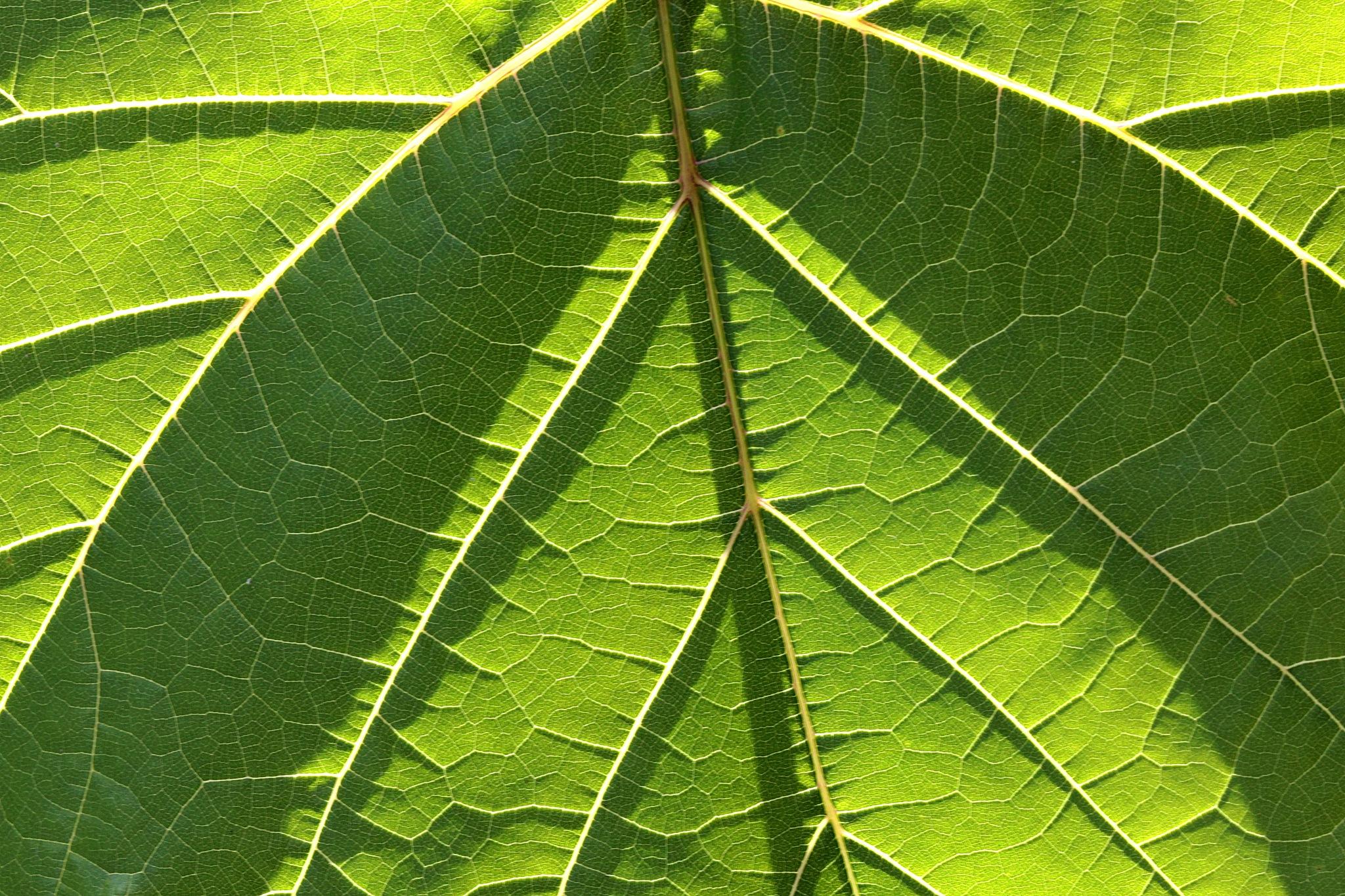 Wild wine leaf by papaje
