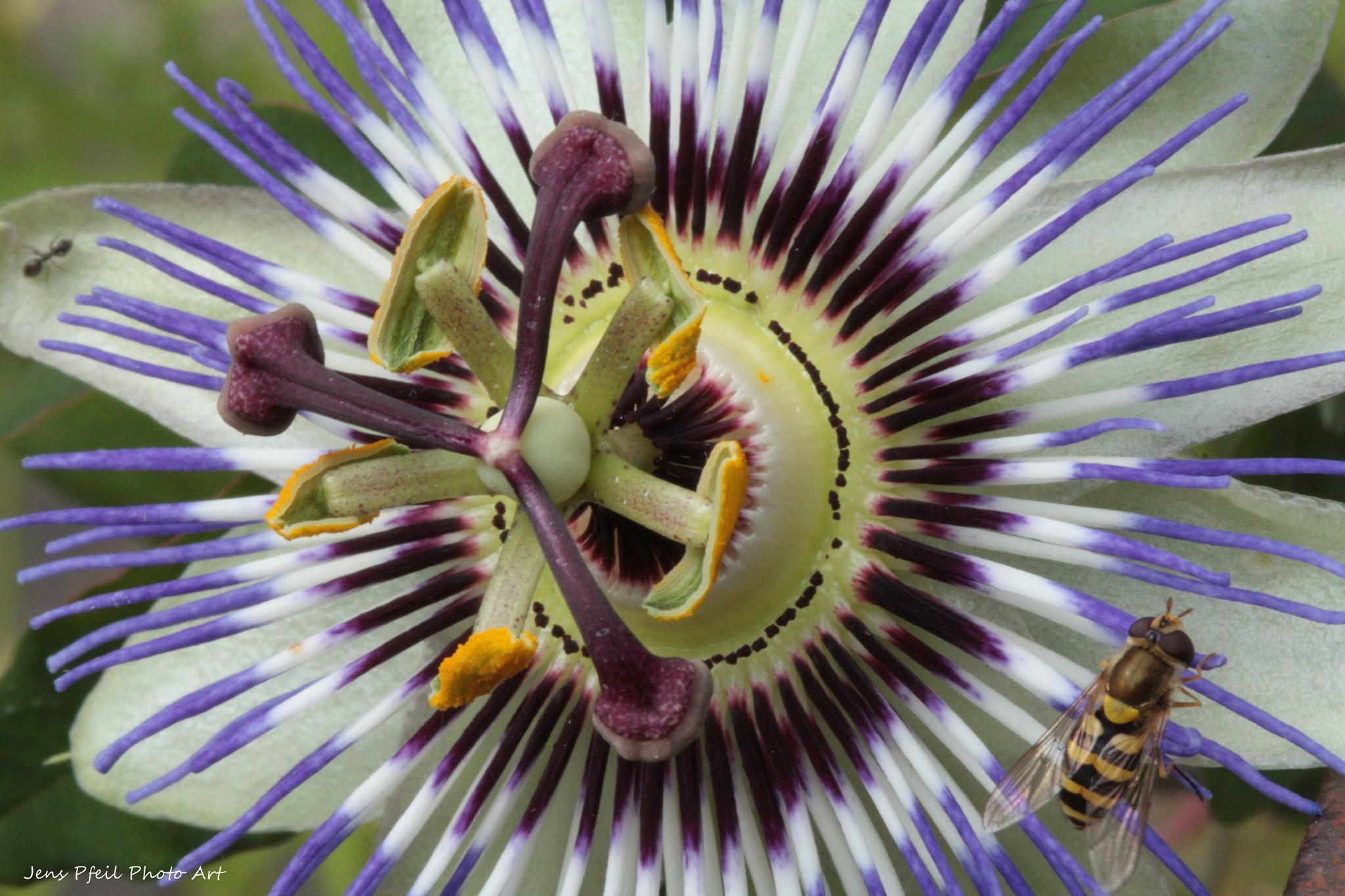 Passiflora 2 by papaje