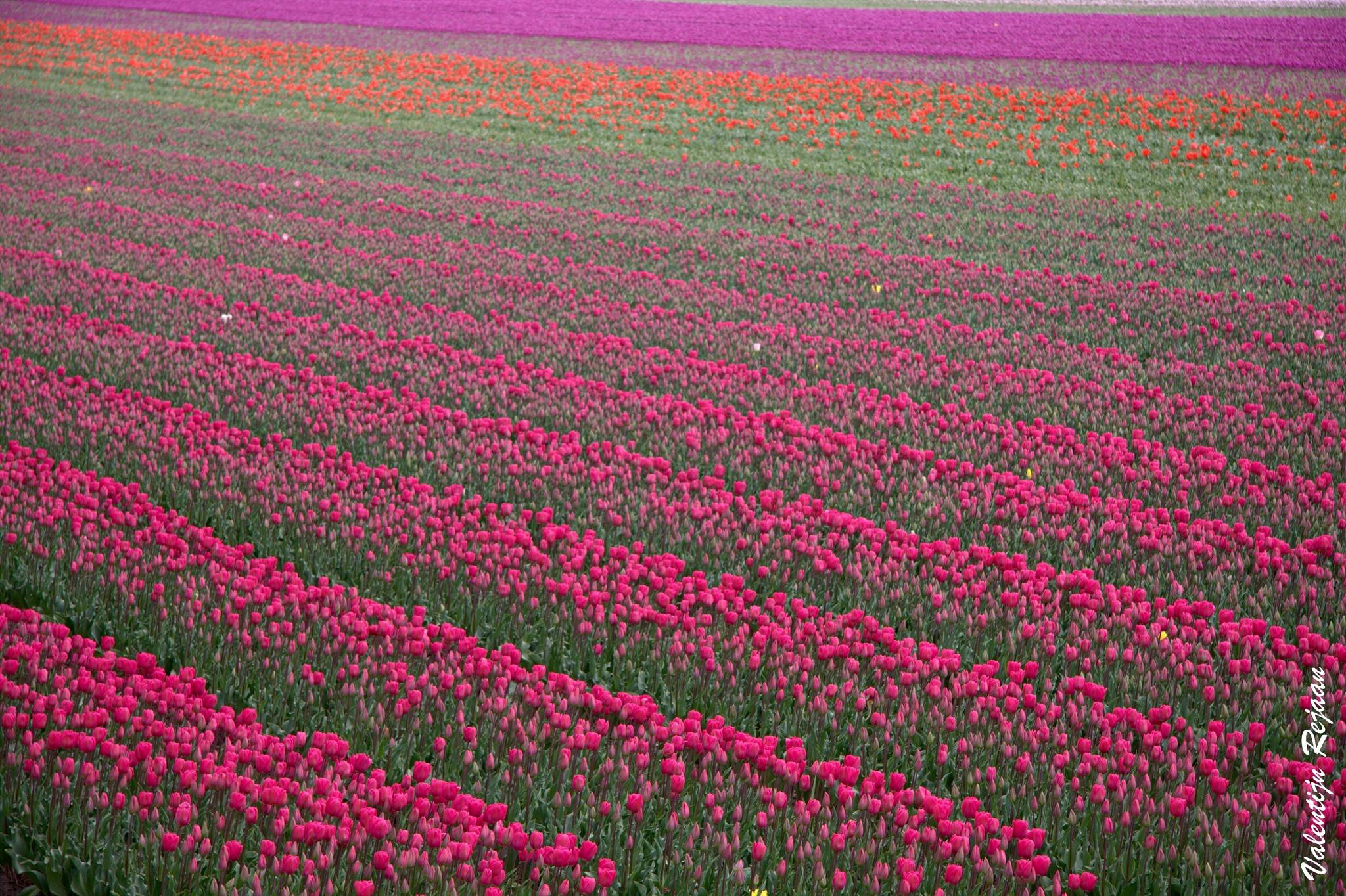 Tulips in Holland by Valentijn Rejaän