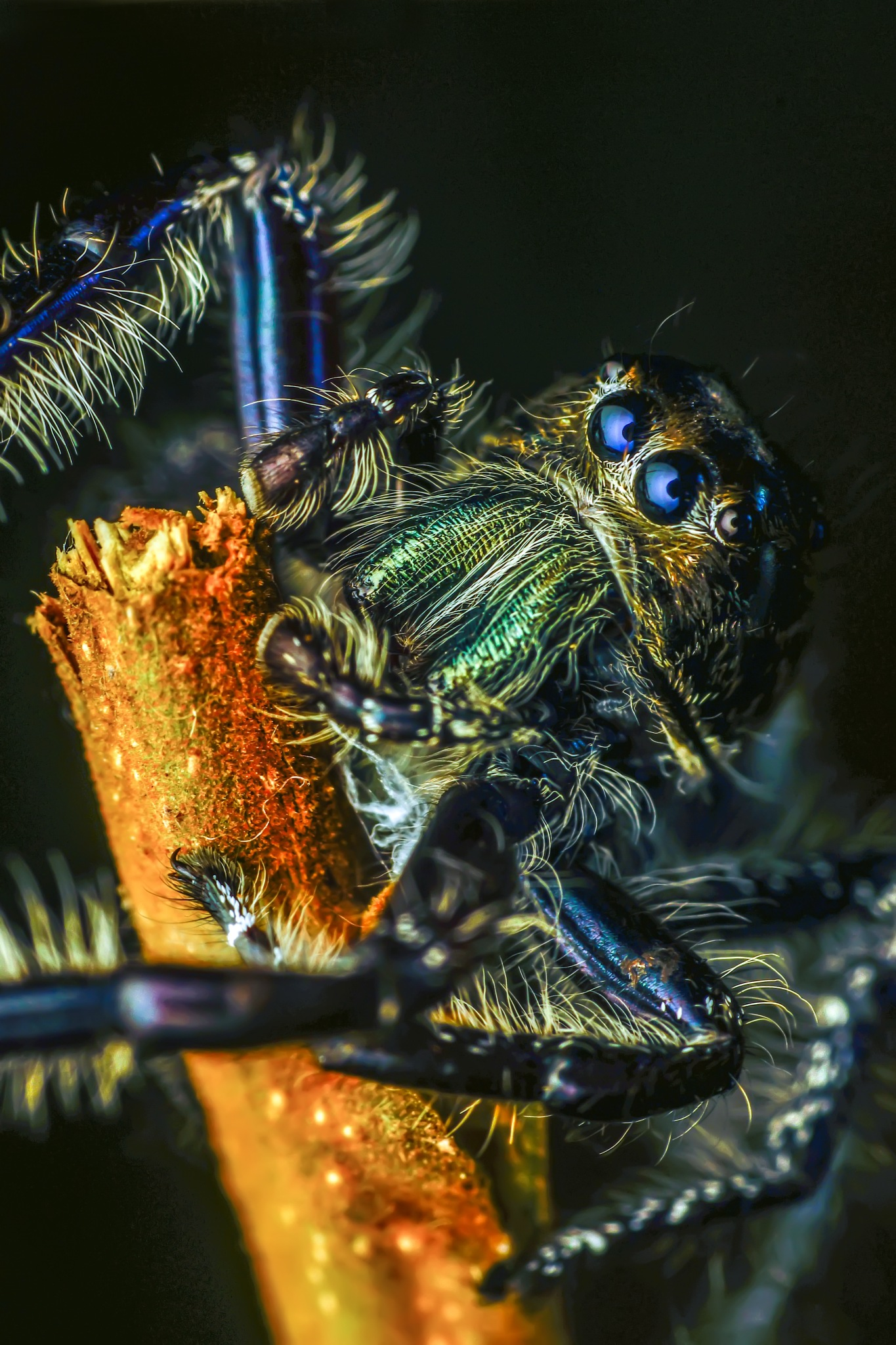 jumping spider by hury