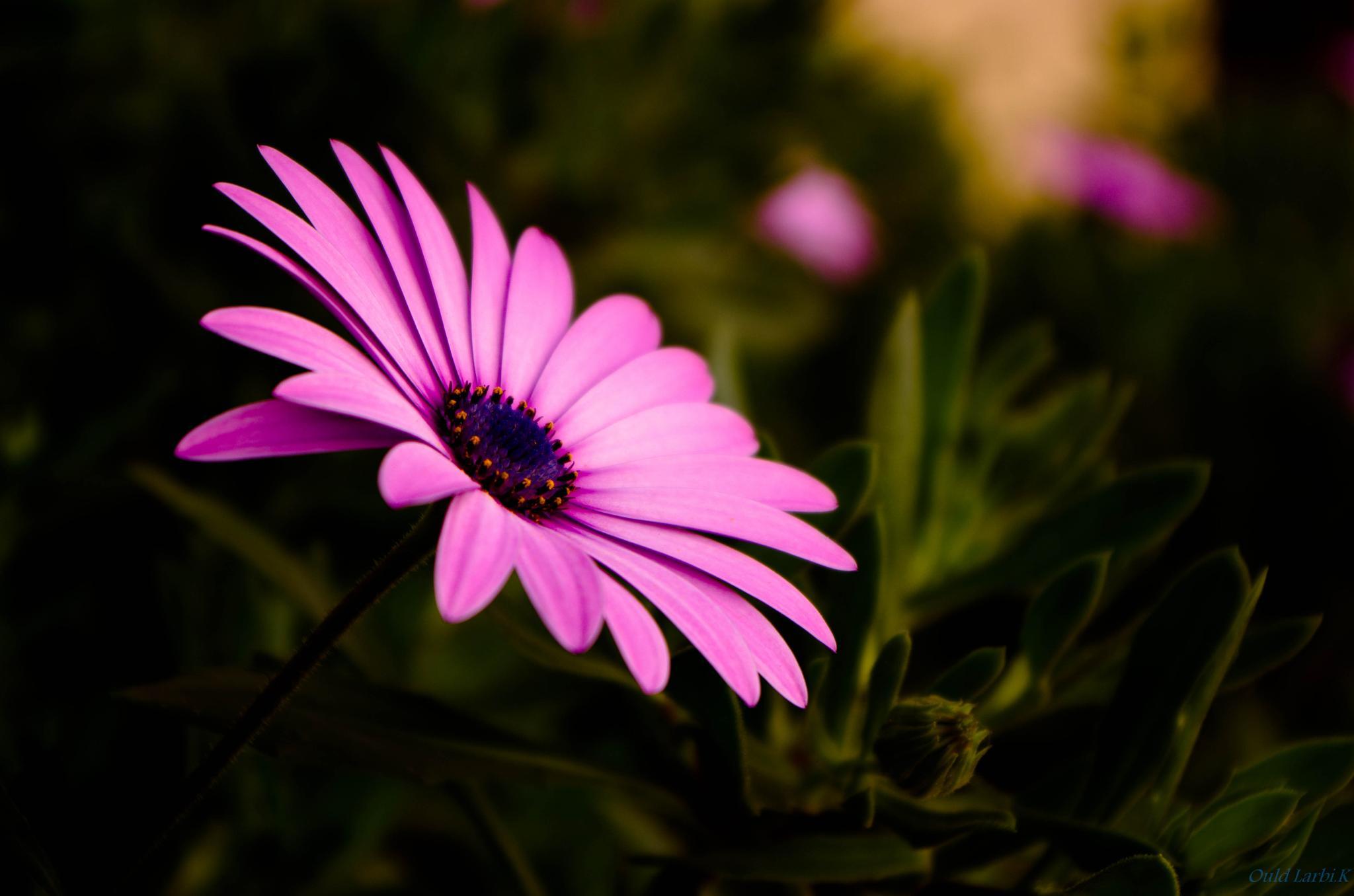Marguerite by kamila_OL