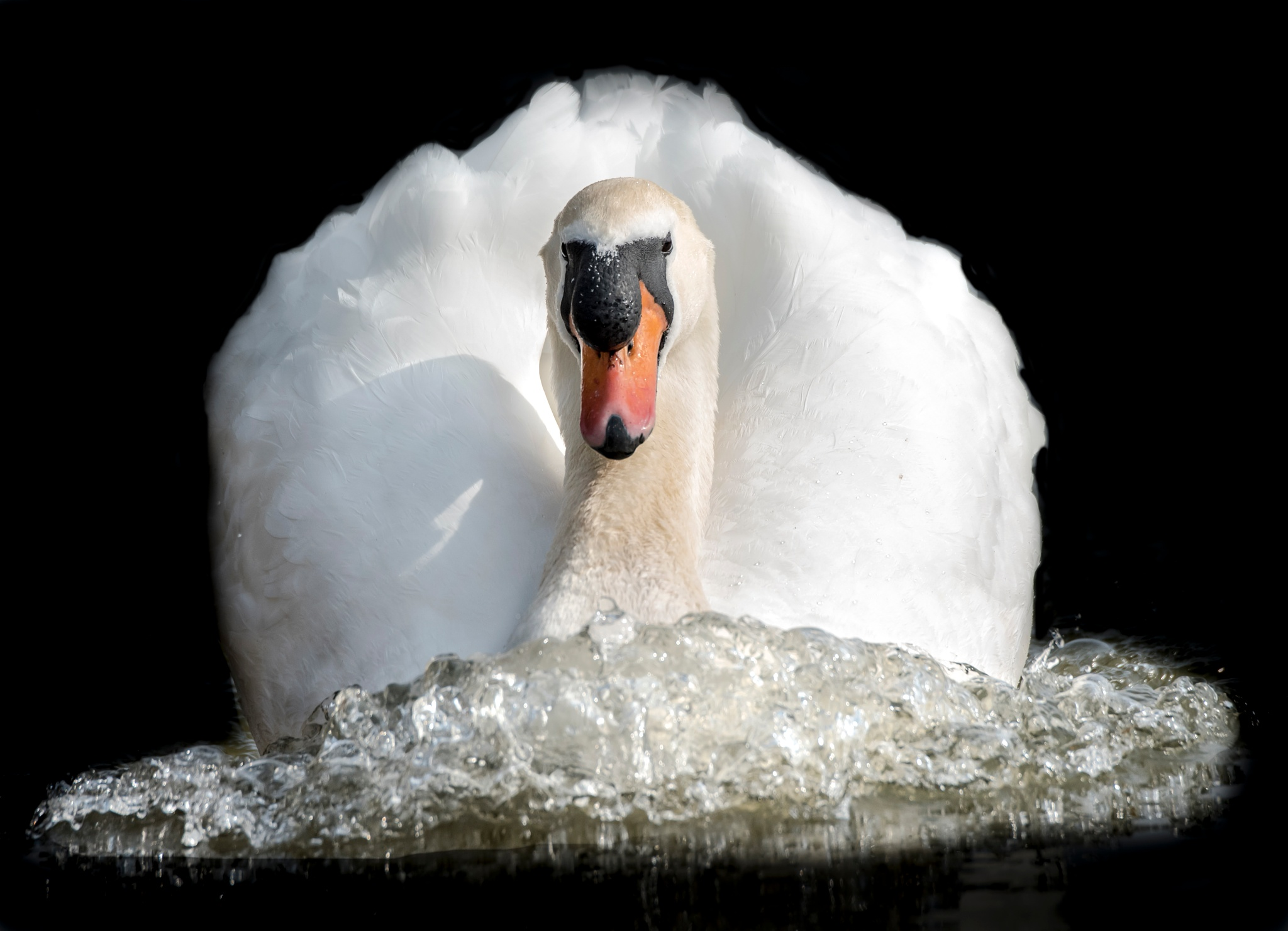 swan on the chase by Dean Farmer