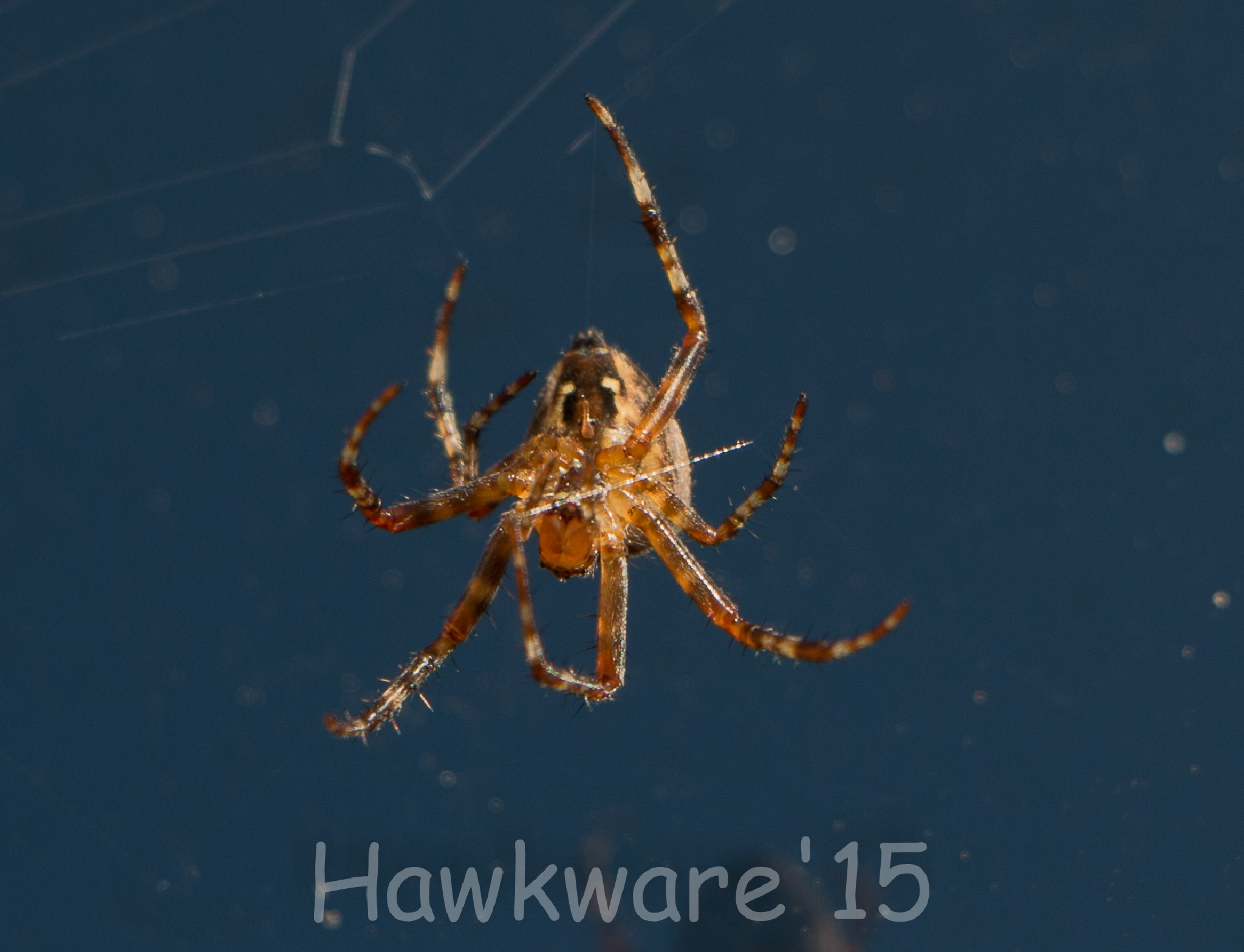 spider making its web by hans.vanvarik