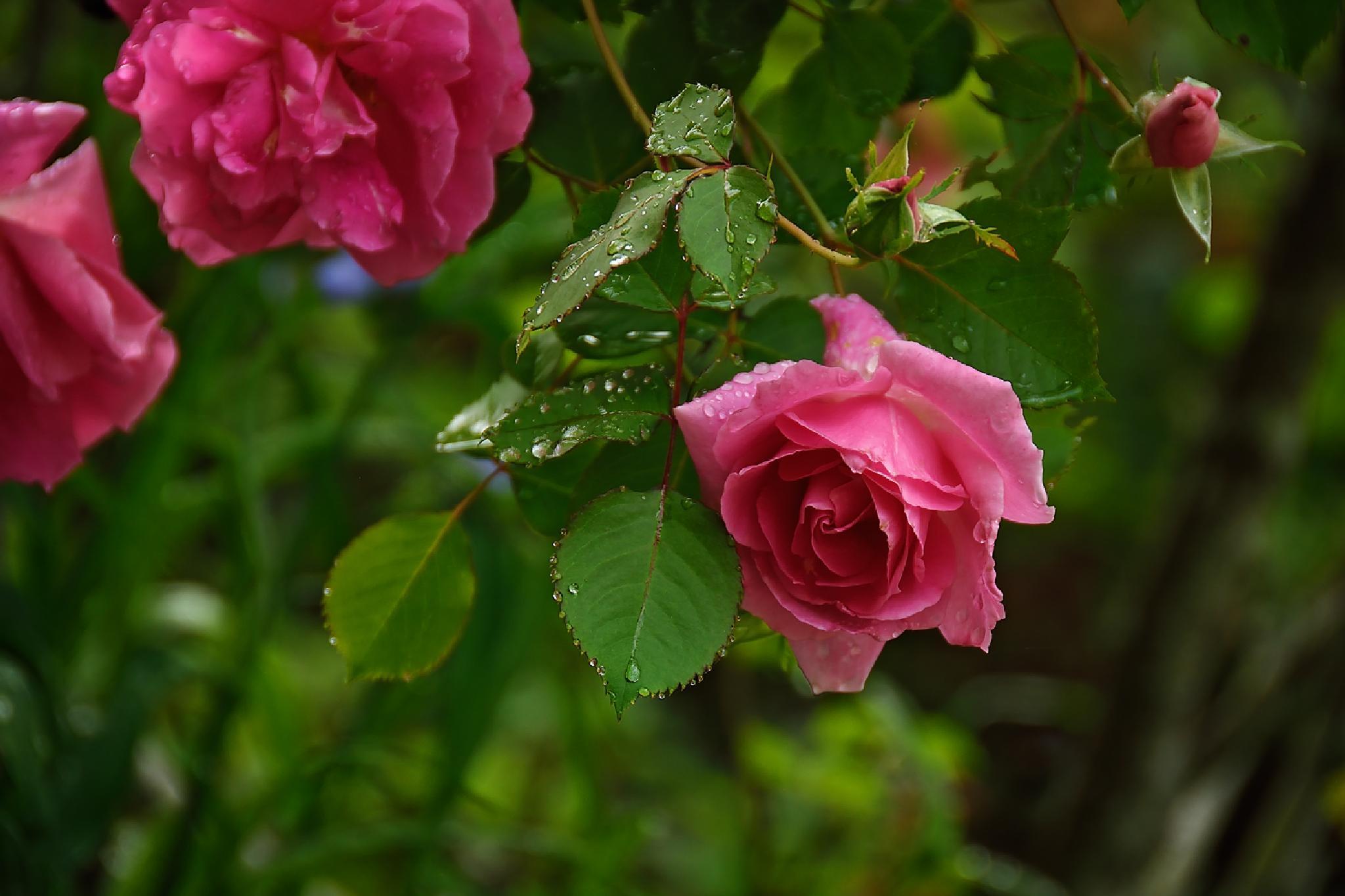 Rose  by jennifer.byrd.1238
