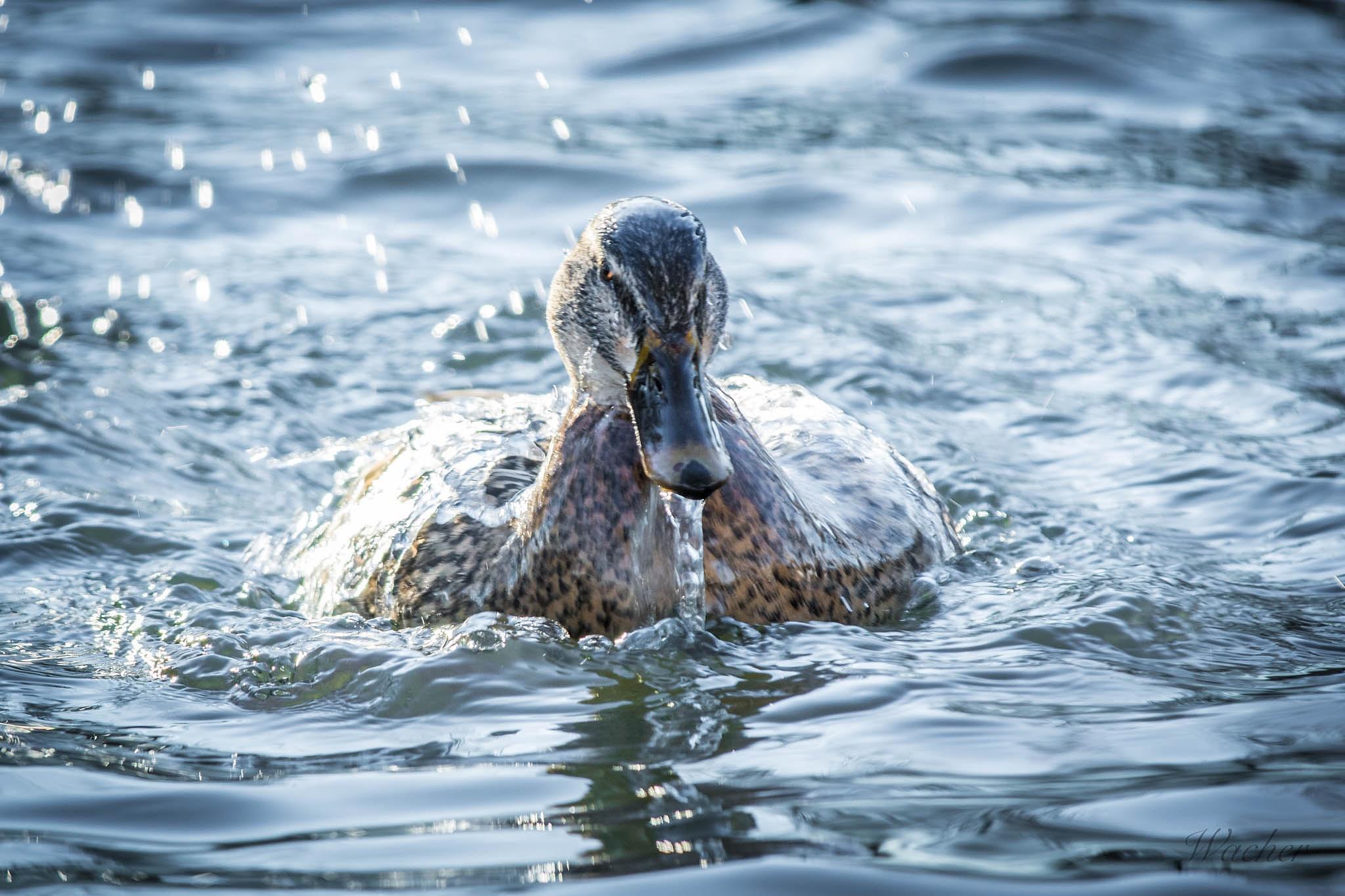 Duck by Wacherphoto
