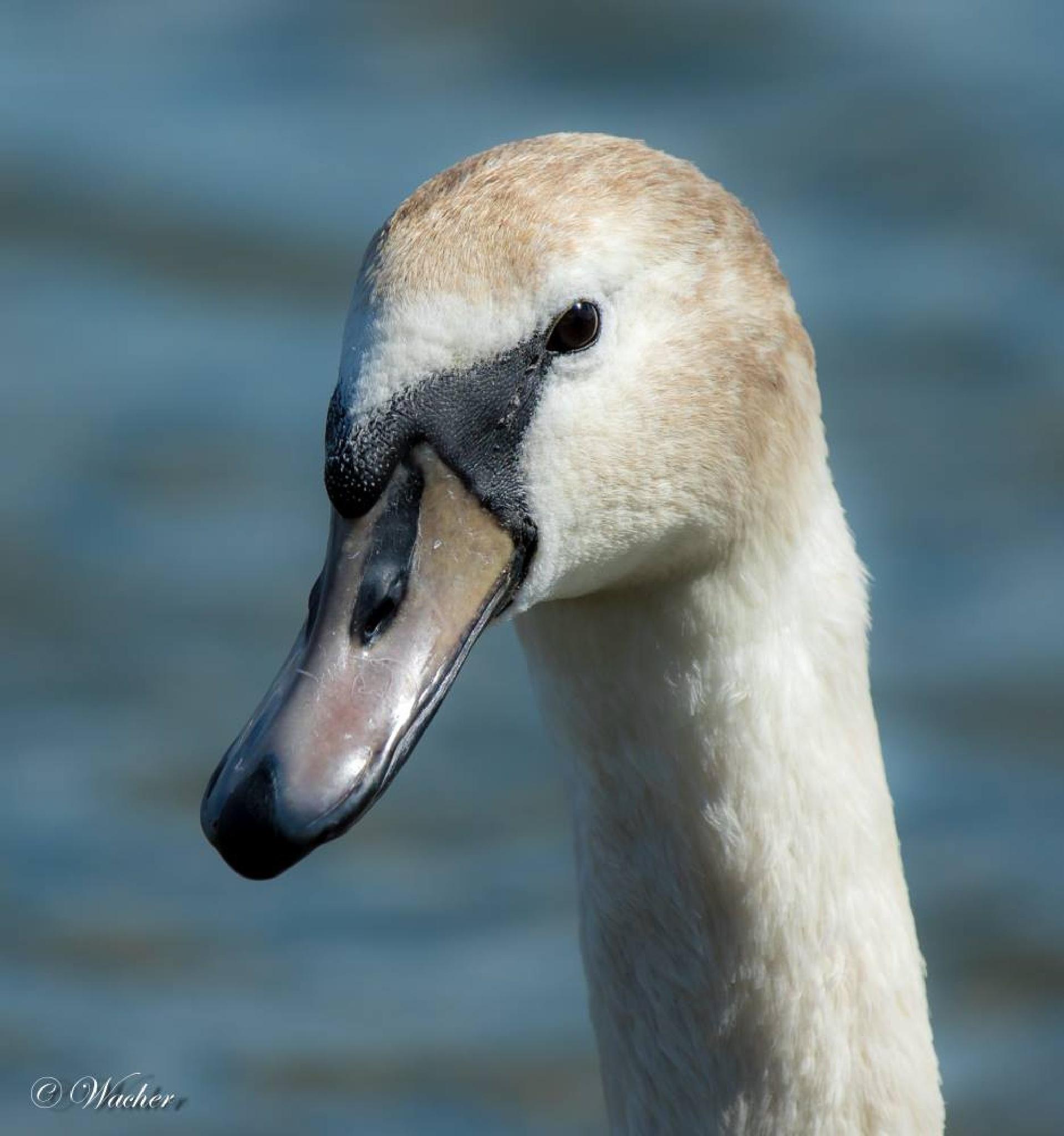 Swan by Wacherphoto