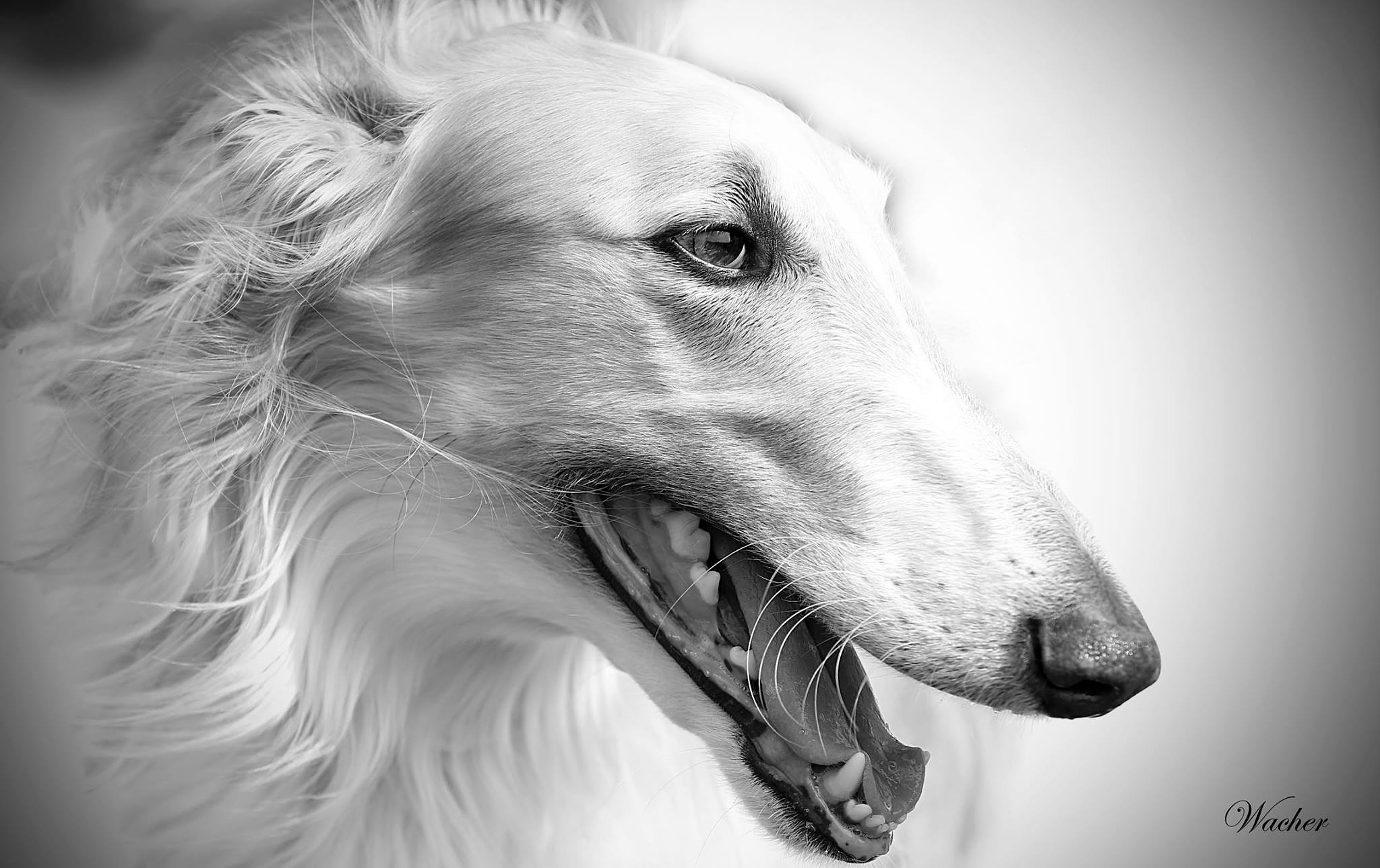 Borzoi by Wacherphoto