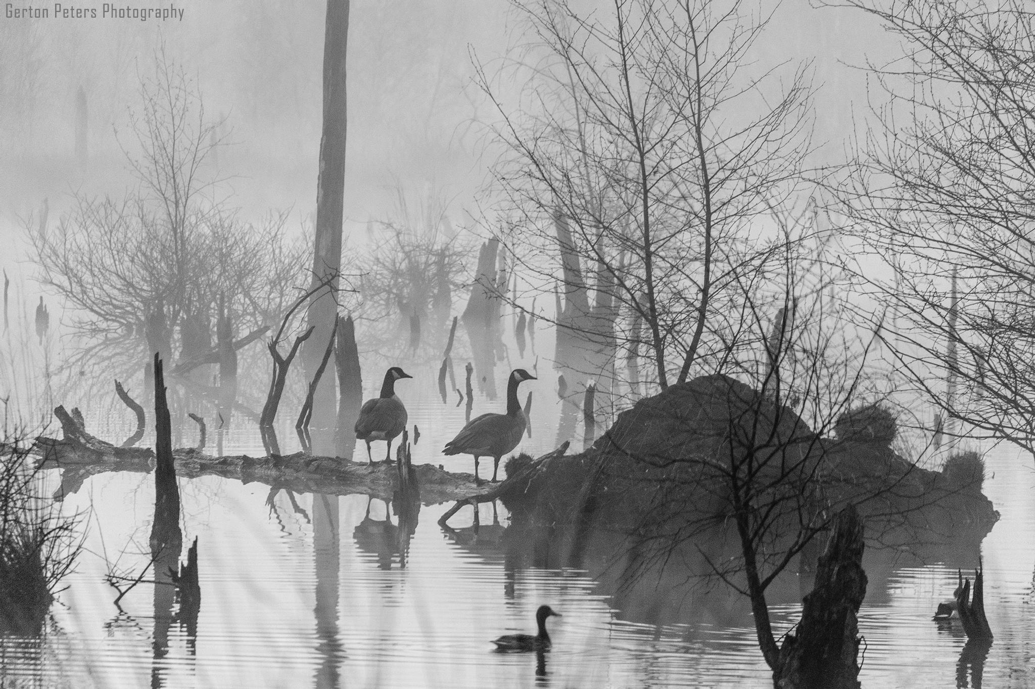 Geese in the fog by Gerton Peters