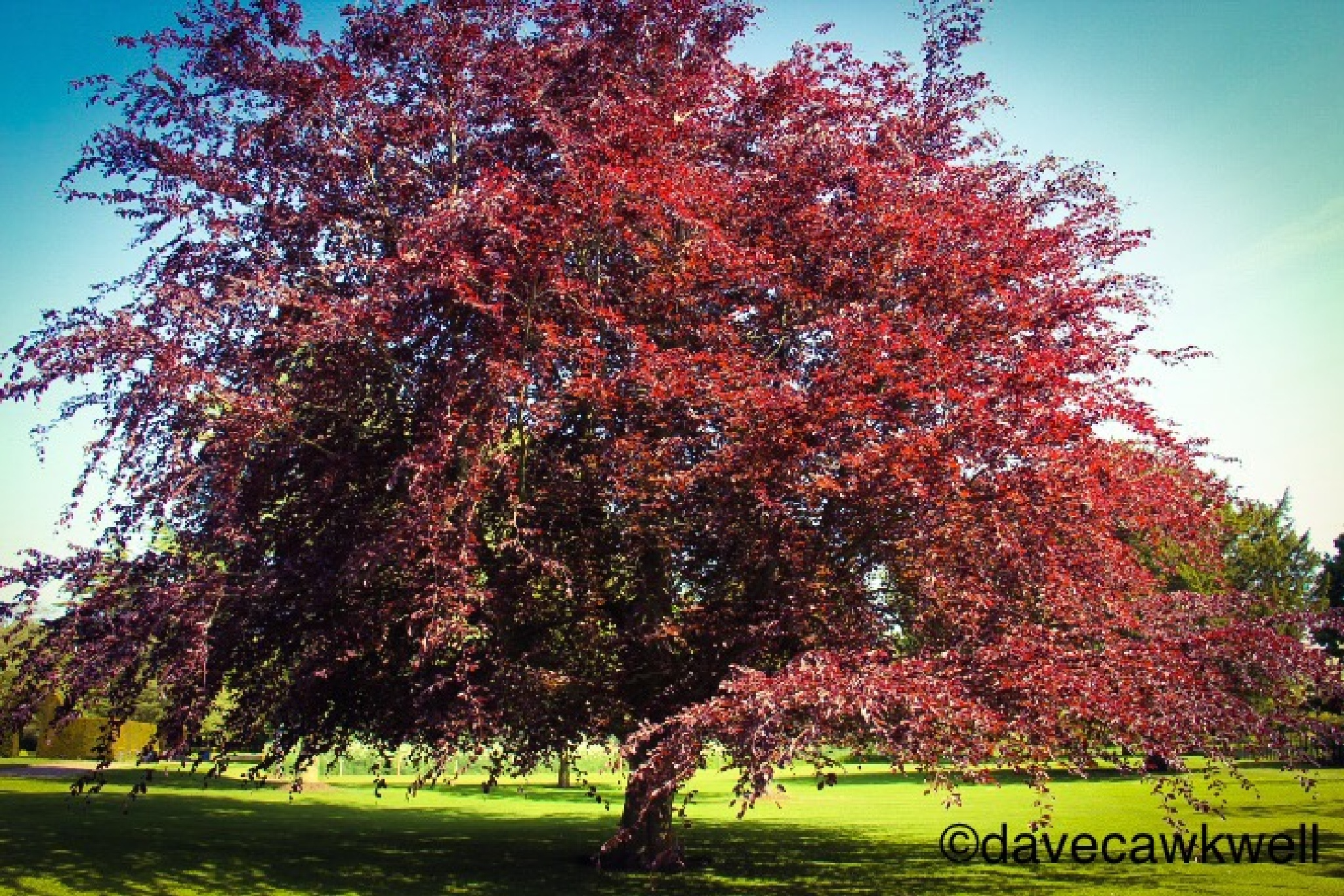The Red Tree by Dave Cawkwell