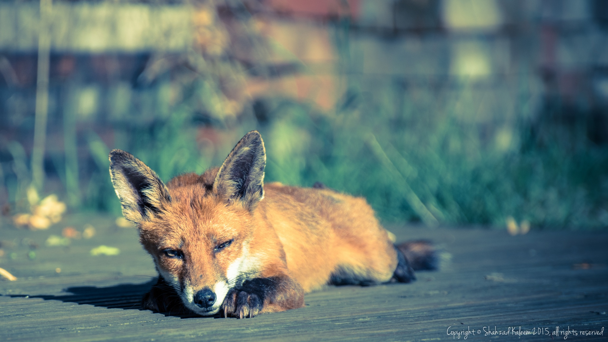 Lazy Mr. Fox by Shahzad Kaleem