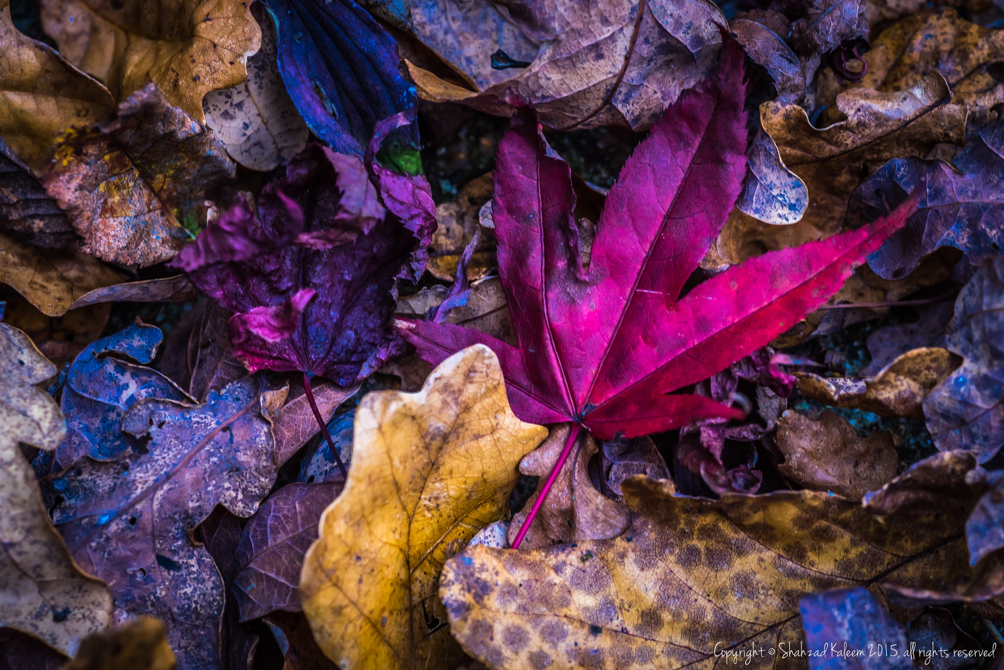 Autumn Leaves #3 by Shahzad Kaleem