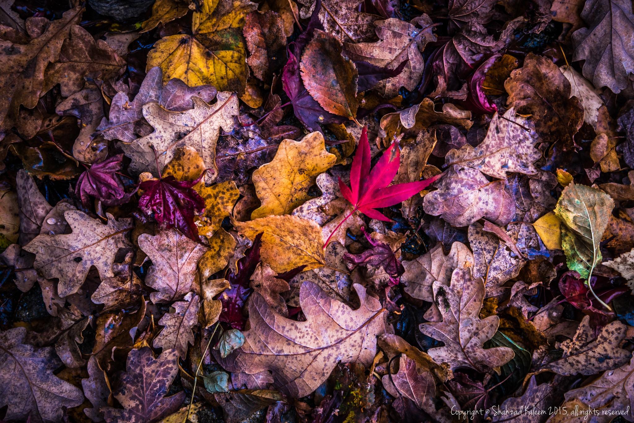 Autumn Leaves #4 by Shahzad Kaleem