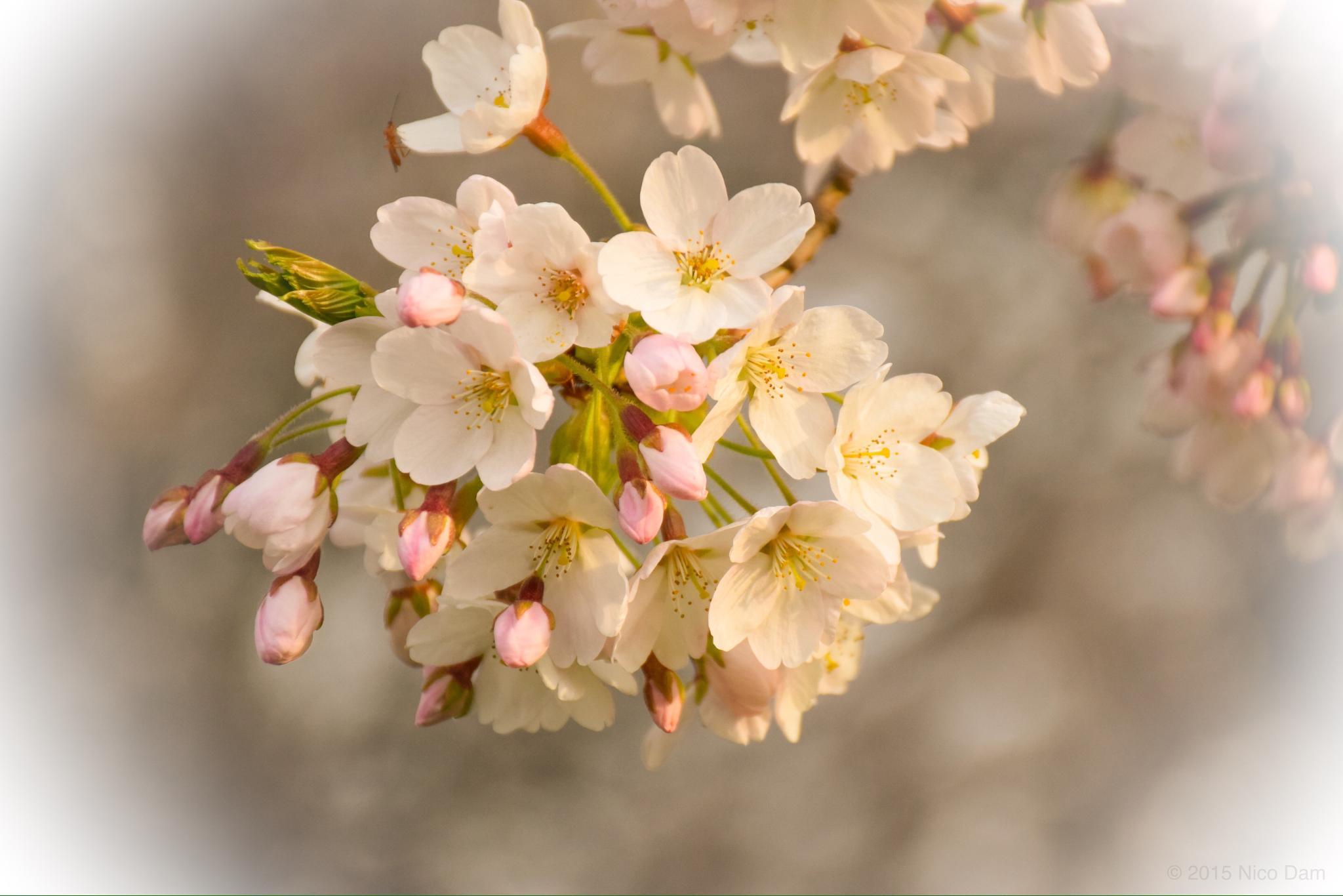 blossom by Nico Dam