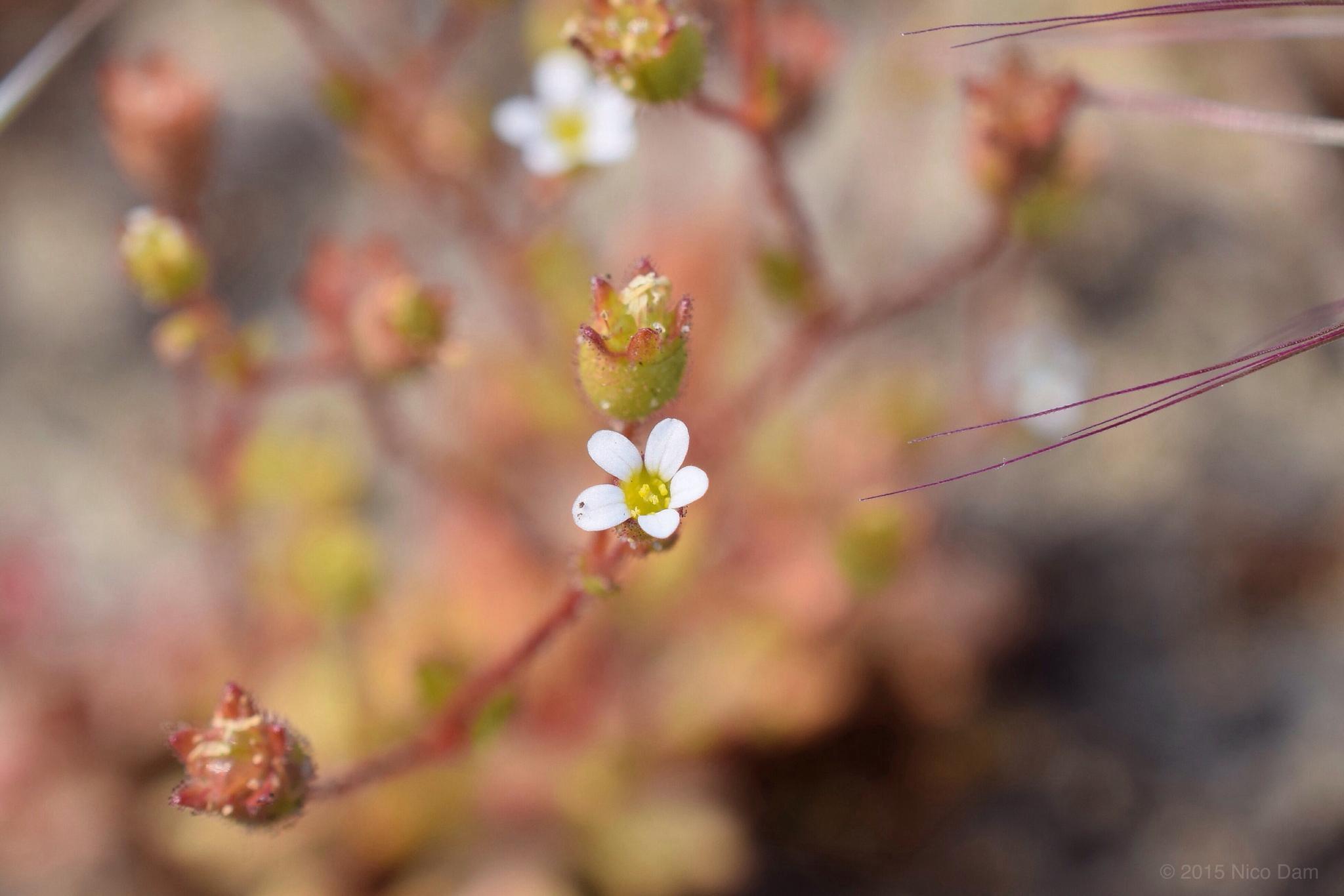 Photo in Random #littel #wild #flower #nature #macro