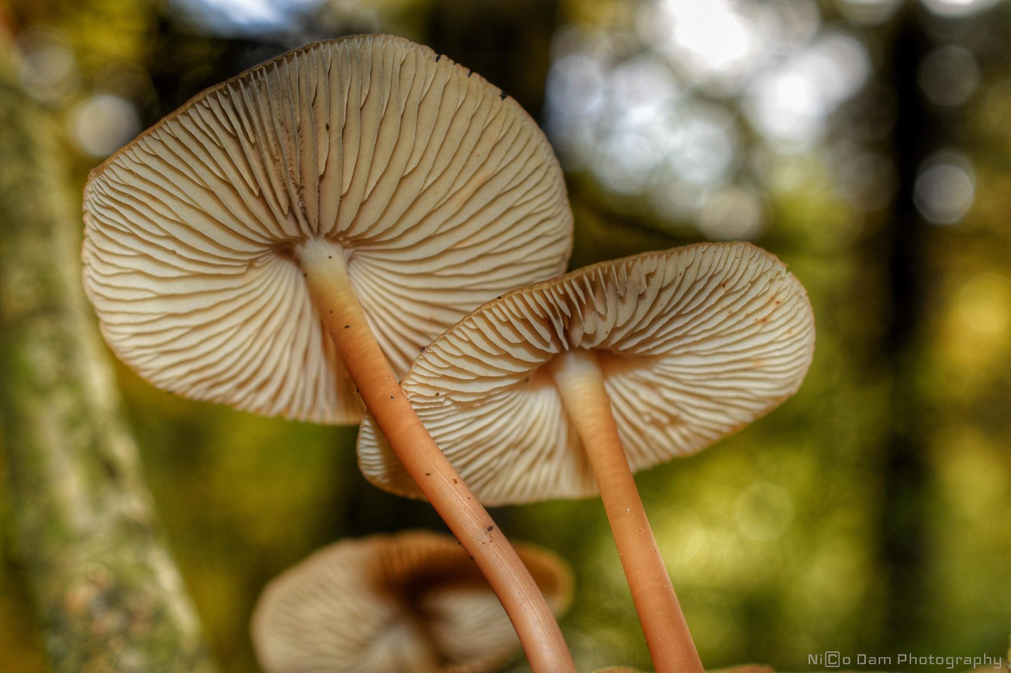 mushroom by Nico Dam