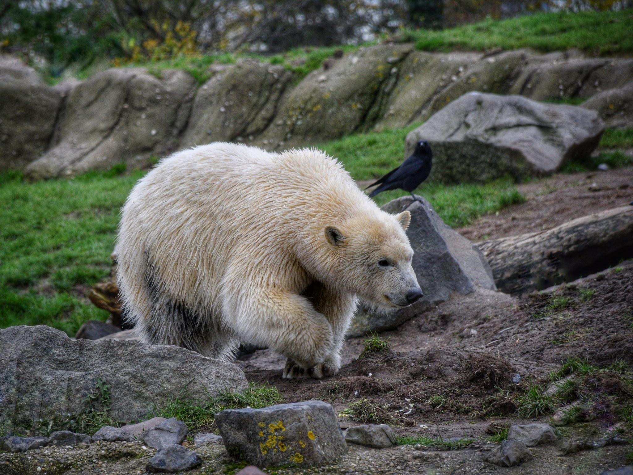 polarbear by Nico Dam