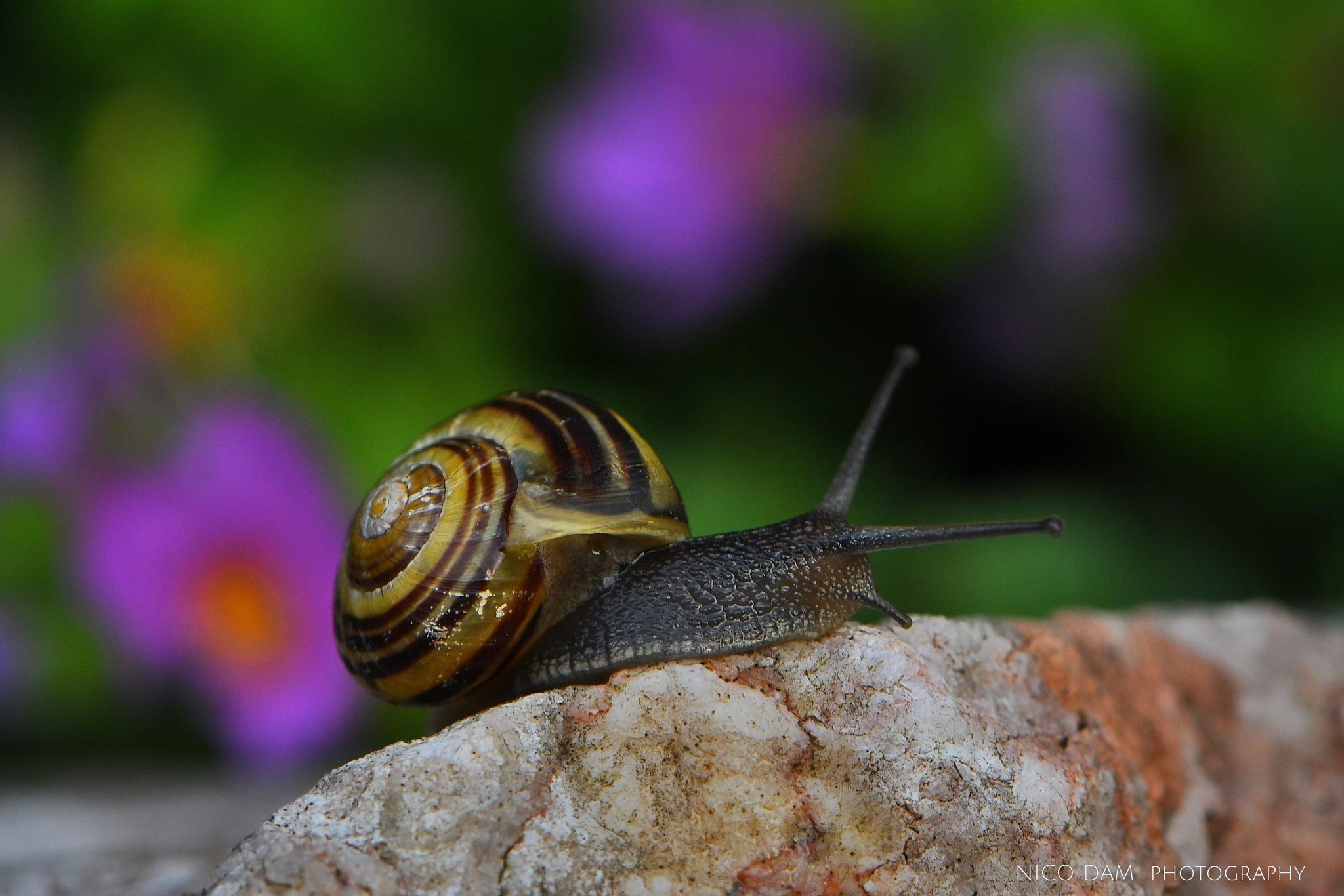 snail on a rock by Nico Dam