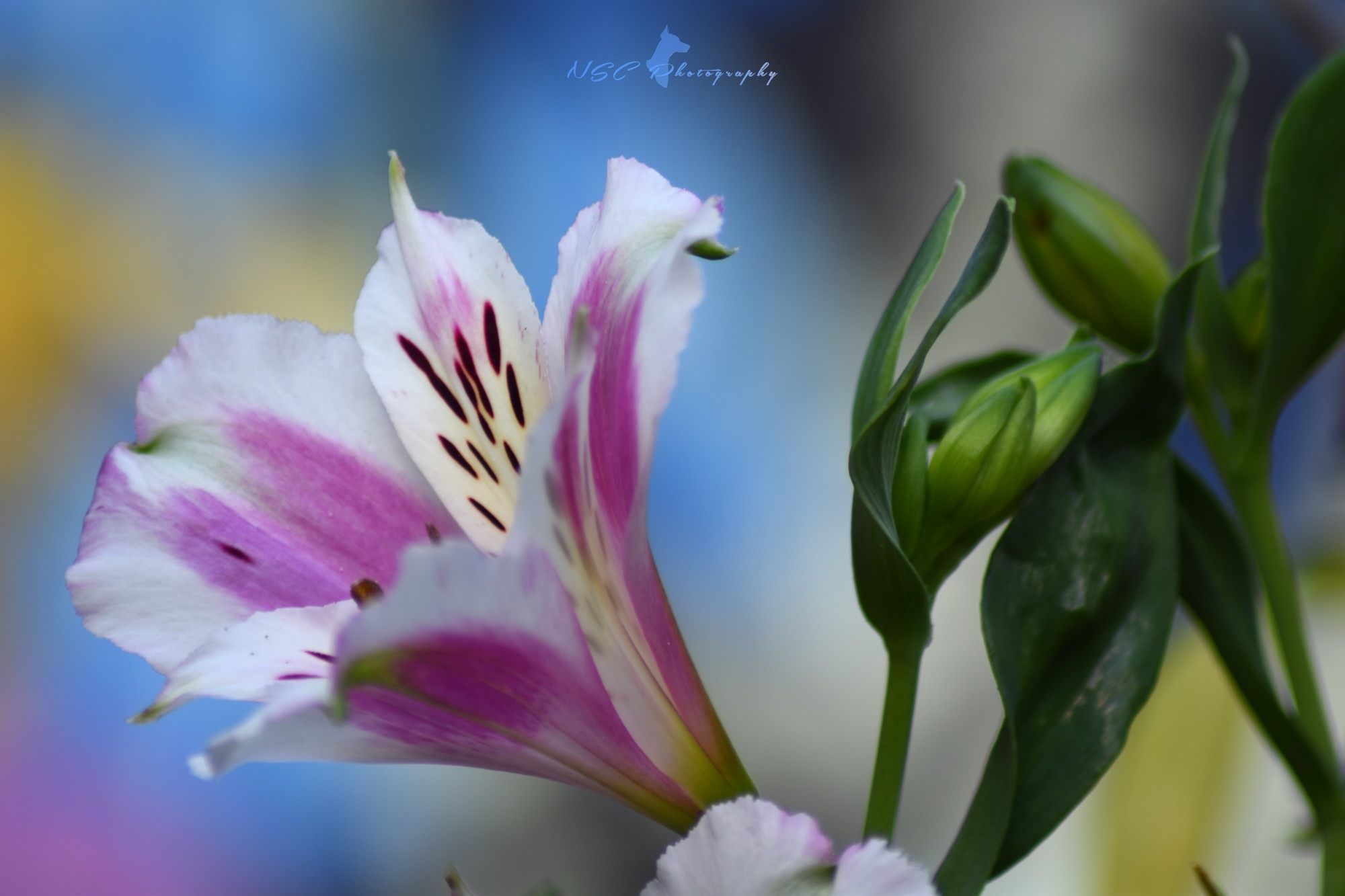 The Alstroemeria or white flower with pink cheeks by NSC Photography
