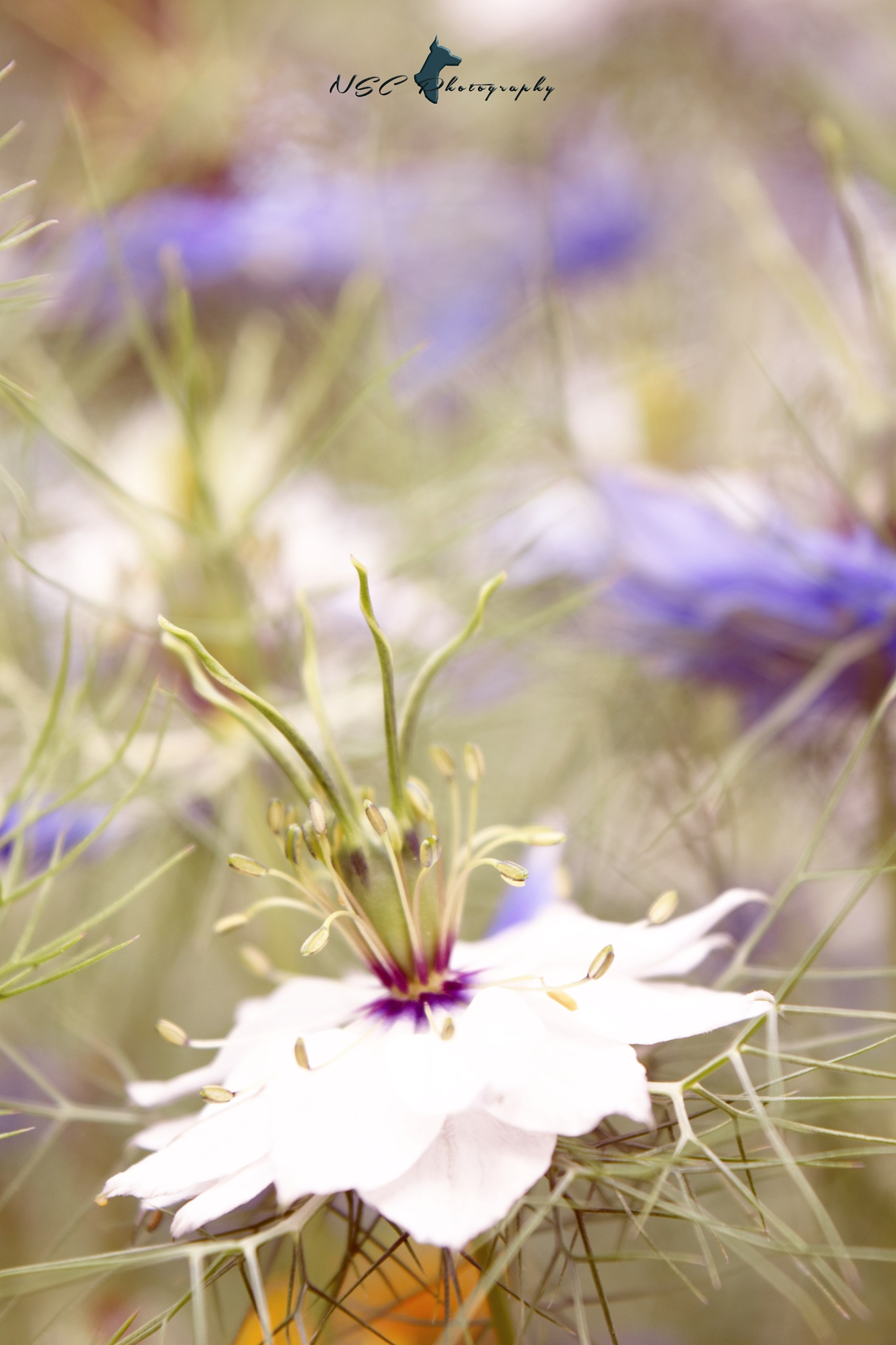 White Nigella.2 by NSC Photography
