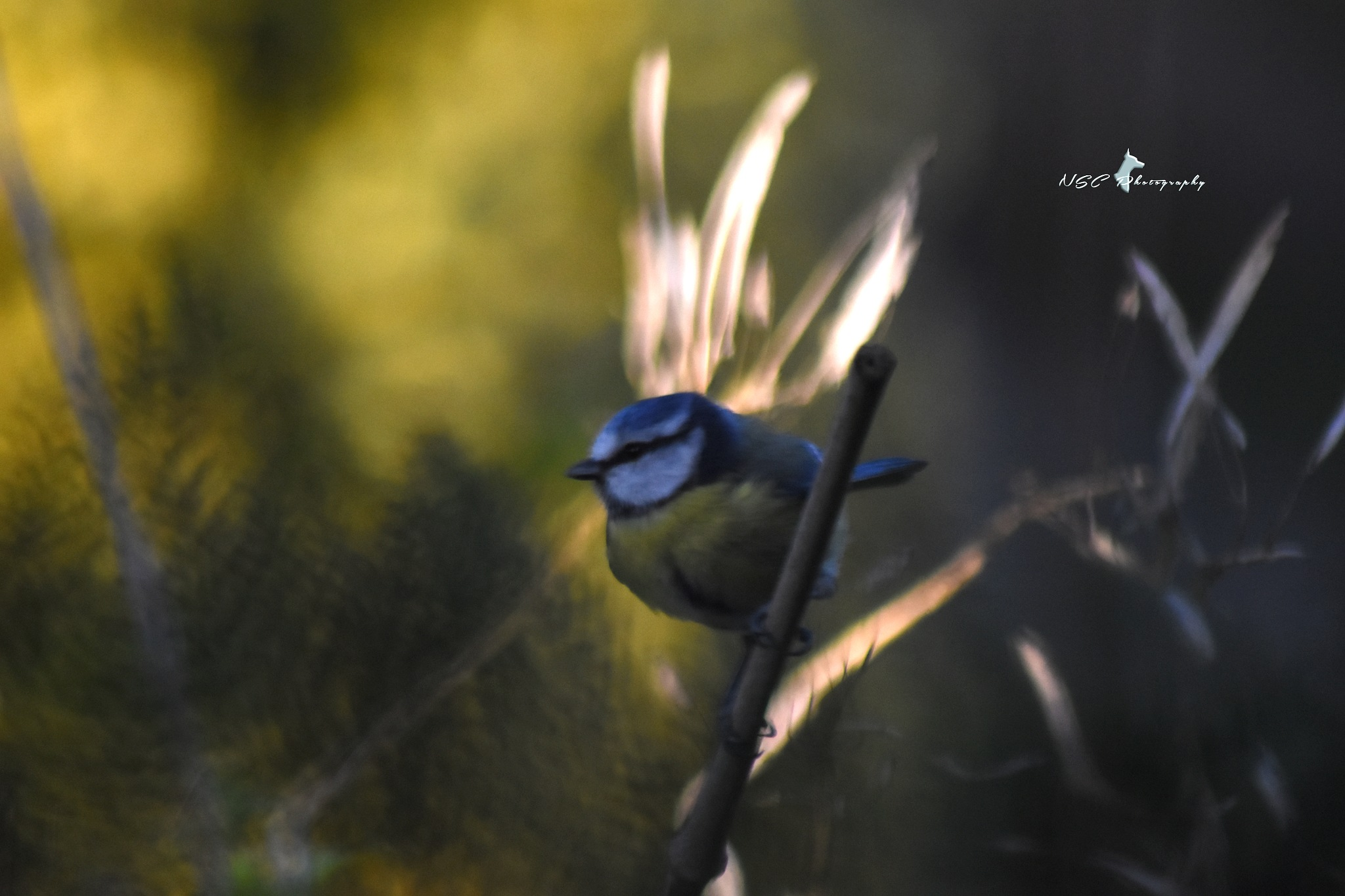 Blue Tit by NSC Photography