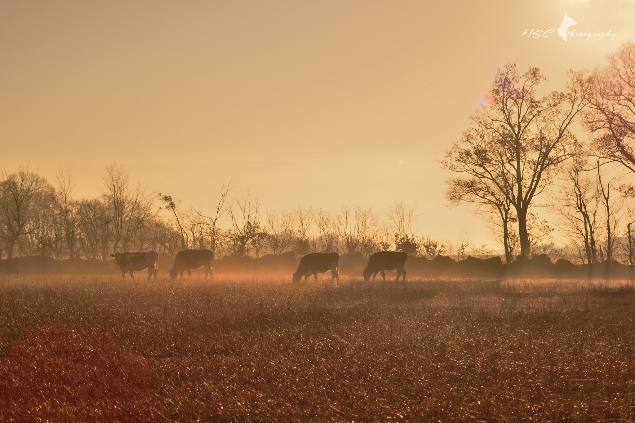 Cows at dawn by NSC Photography