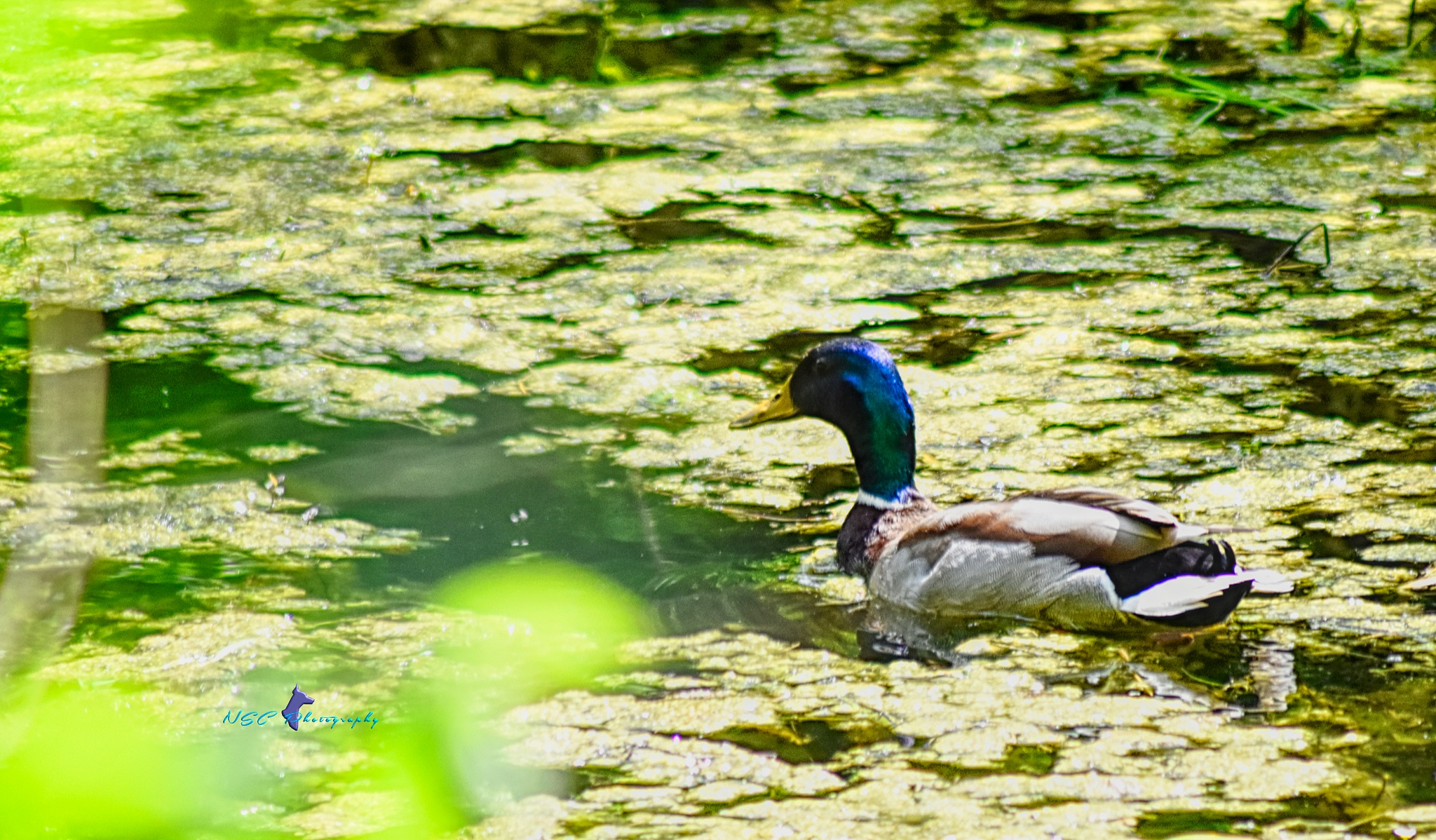 Un canard sur ma mare by NSC Photography