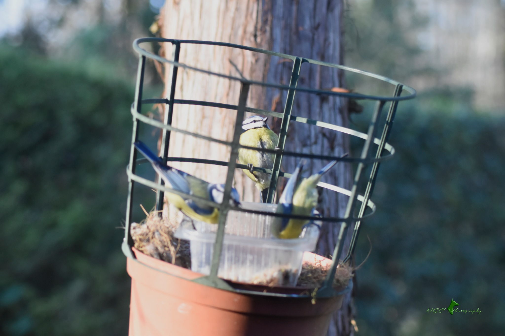 Blue Tit trio by NSC Photography