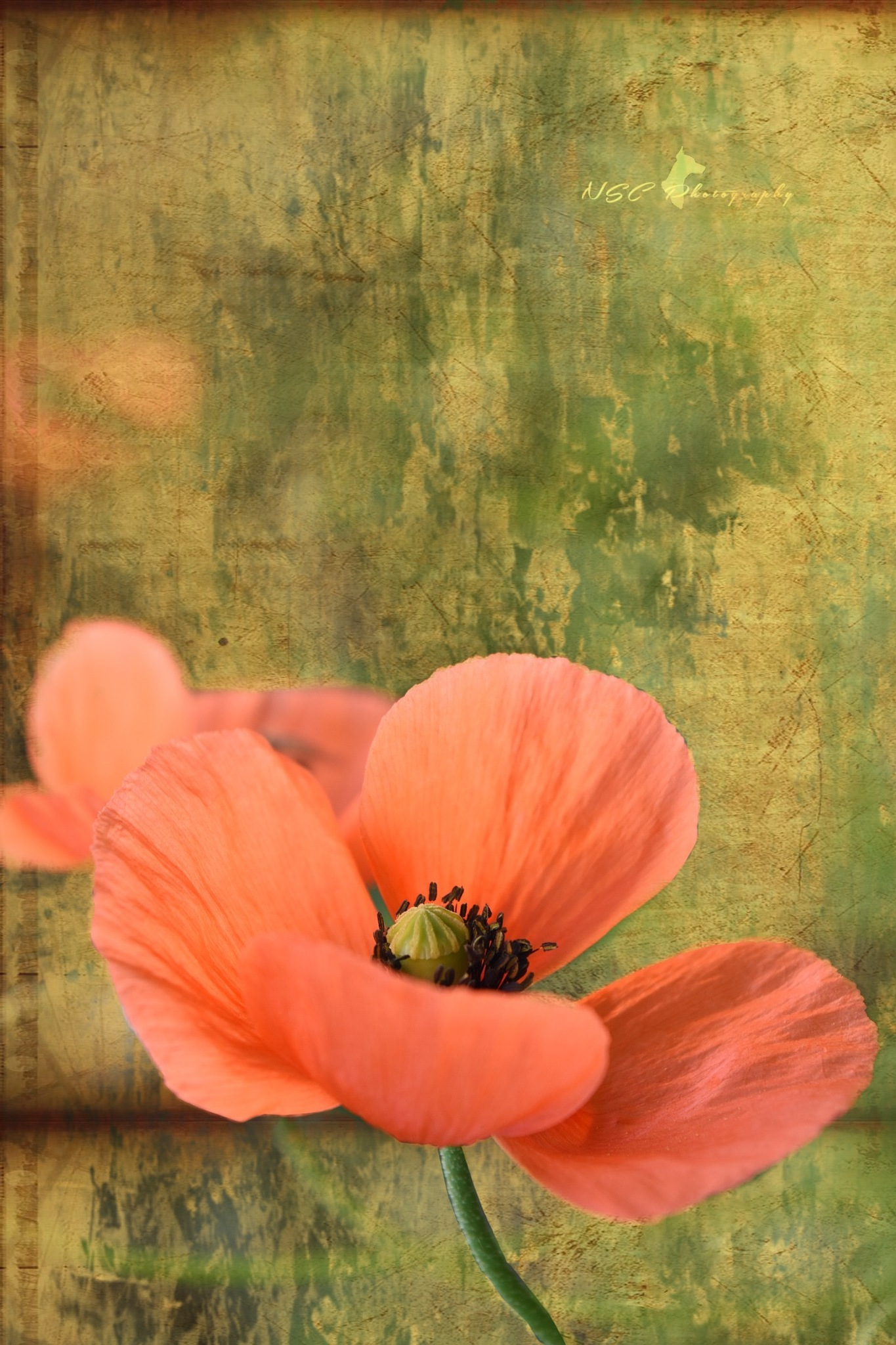 Coquelicot.Texture by NSC Photography